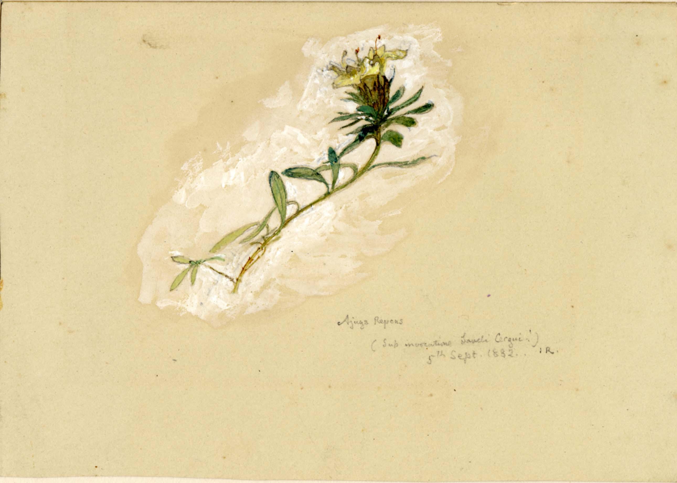 John Ruskin, Ajuga (sic.) 1882 © Ruskin Foundation
