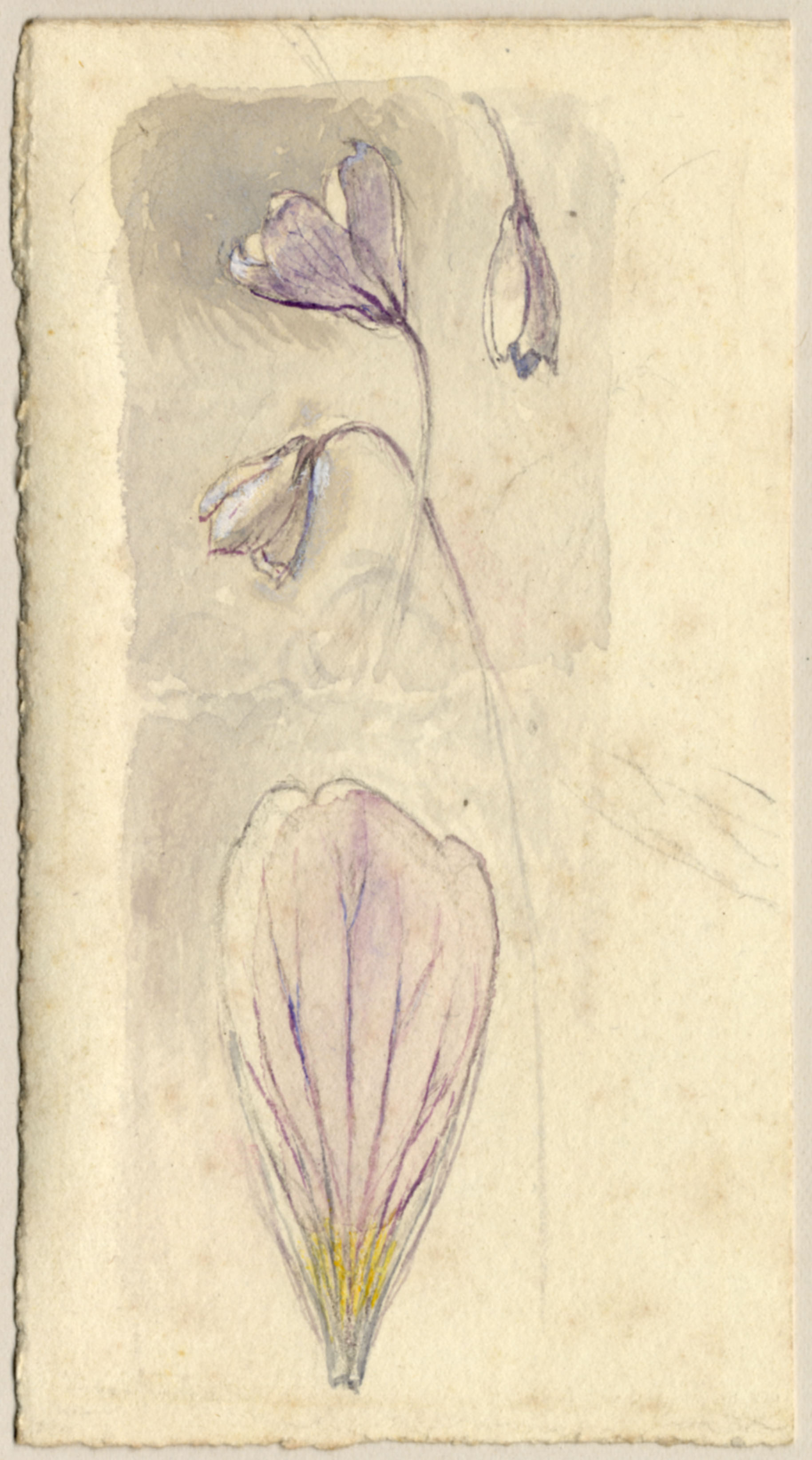 John Ruskin, Wood Sorrel, RF1163 © Ruskin Foundation