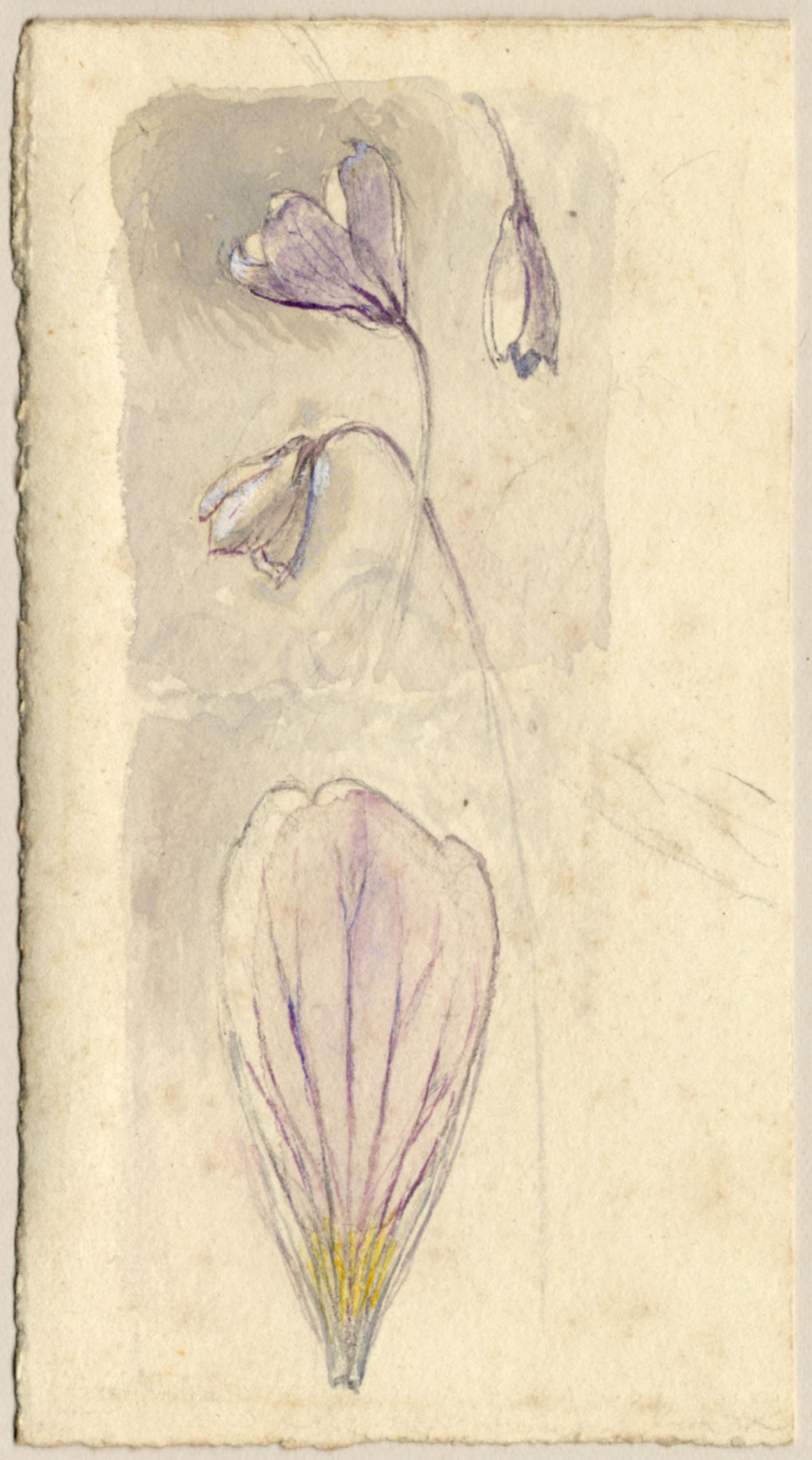 John Ruskin, Wood Sorrel, RF1163 © Ruskin Foundation