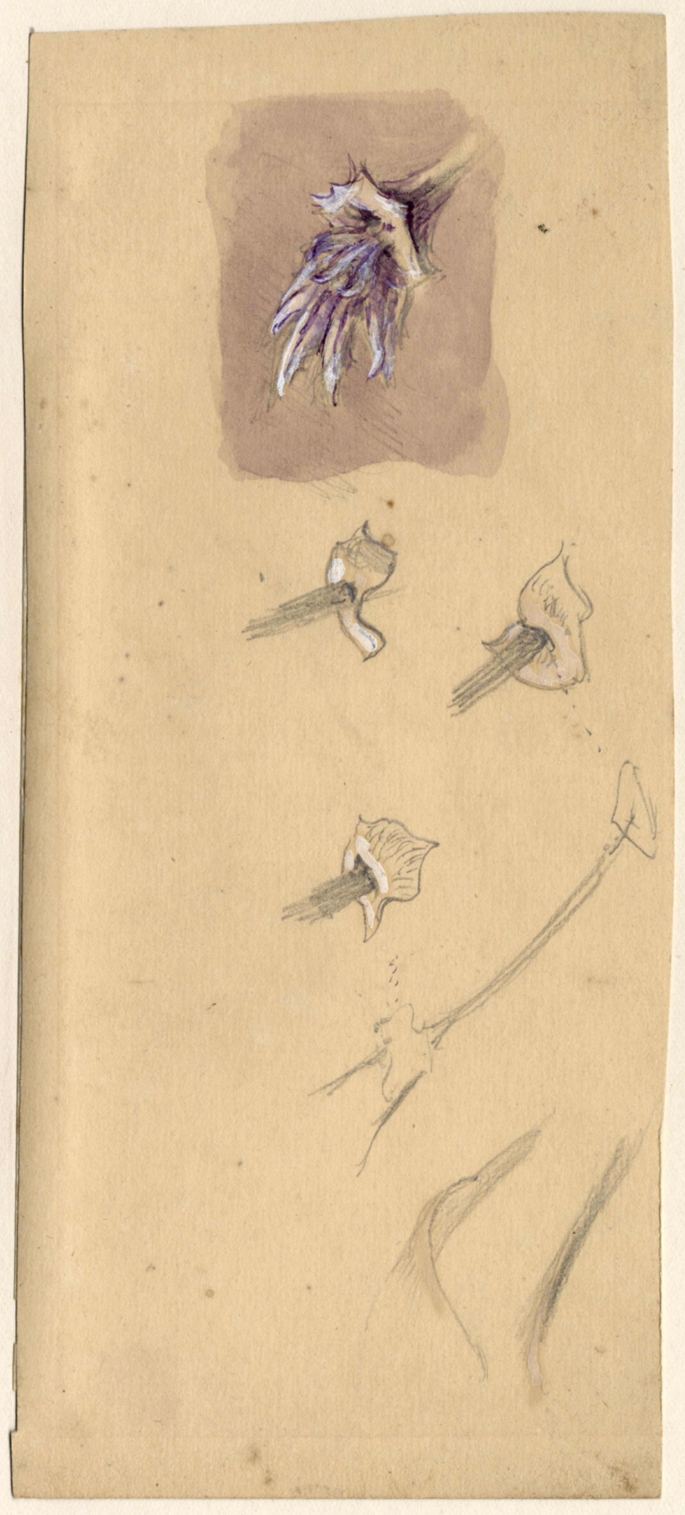 John Ruskin, Botanical Study RF1164 © Ruskin Foundation