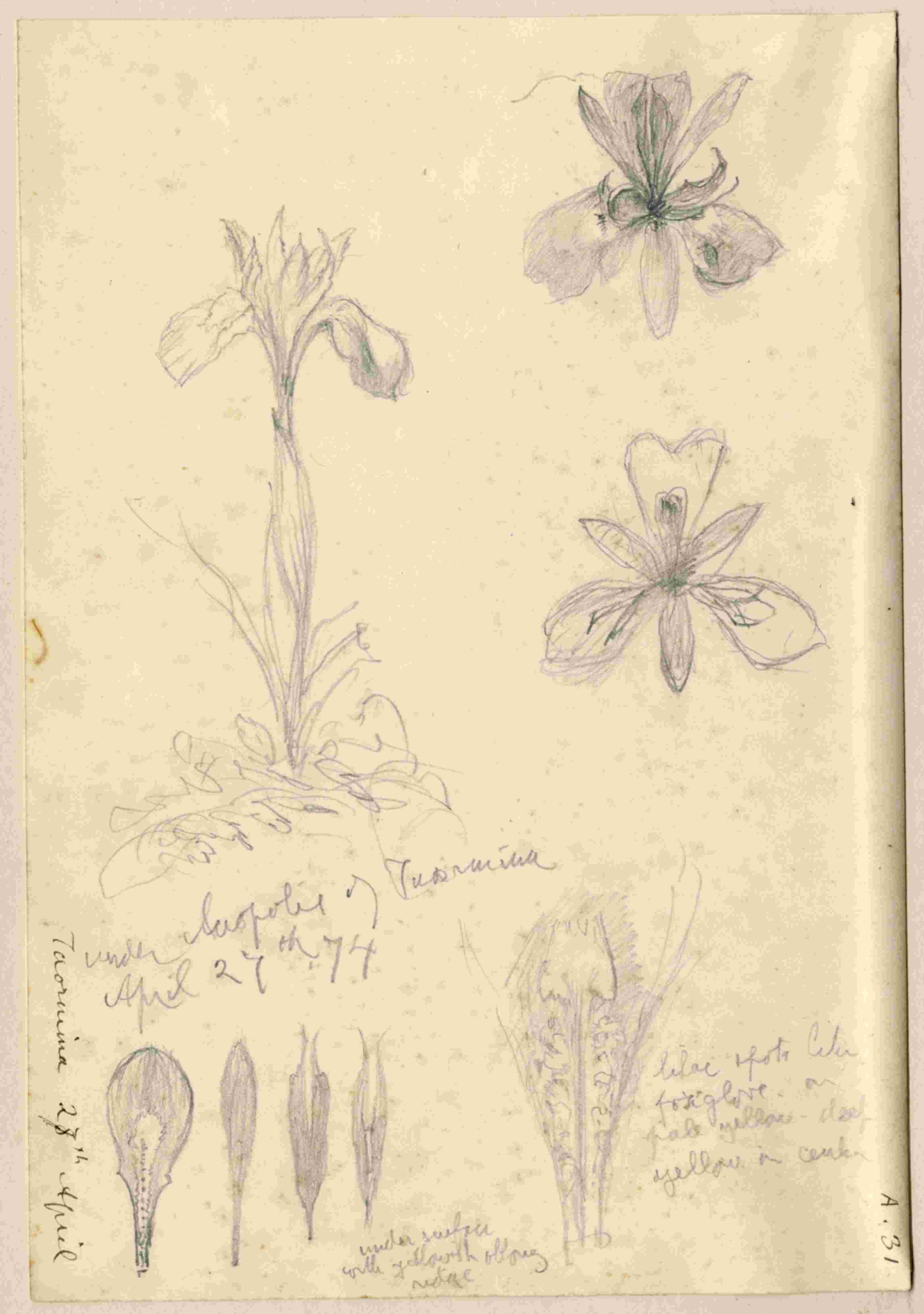 John Ruskin, Iris, Taormina, Sicily 1874, RF1165 © Ruskin Foundation