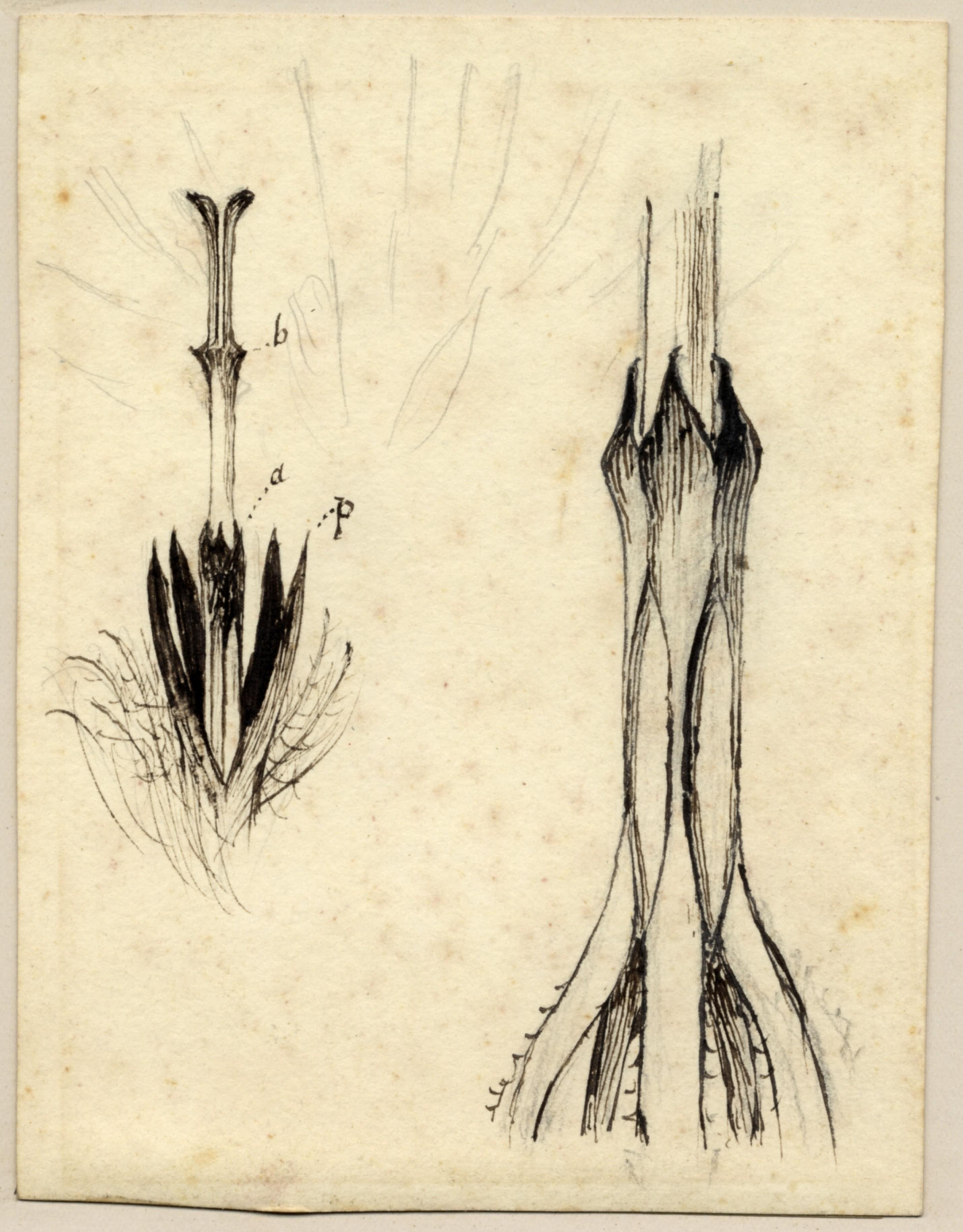 John Ruskin, Botanical Study, RF1166 © Ruskin Foundation