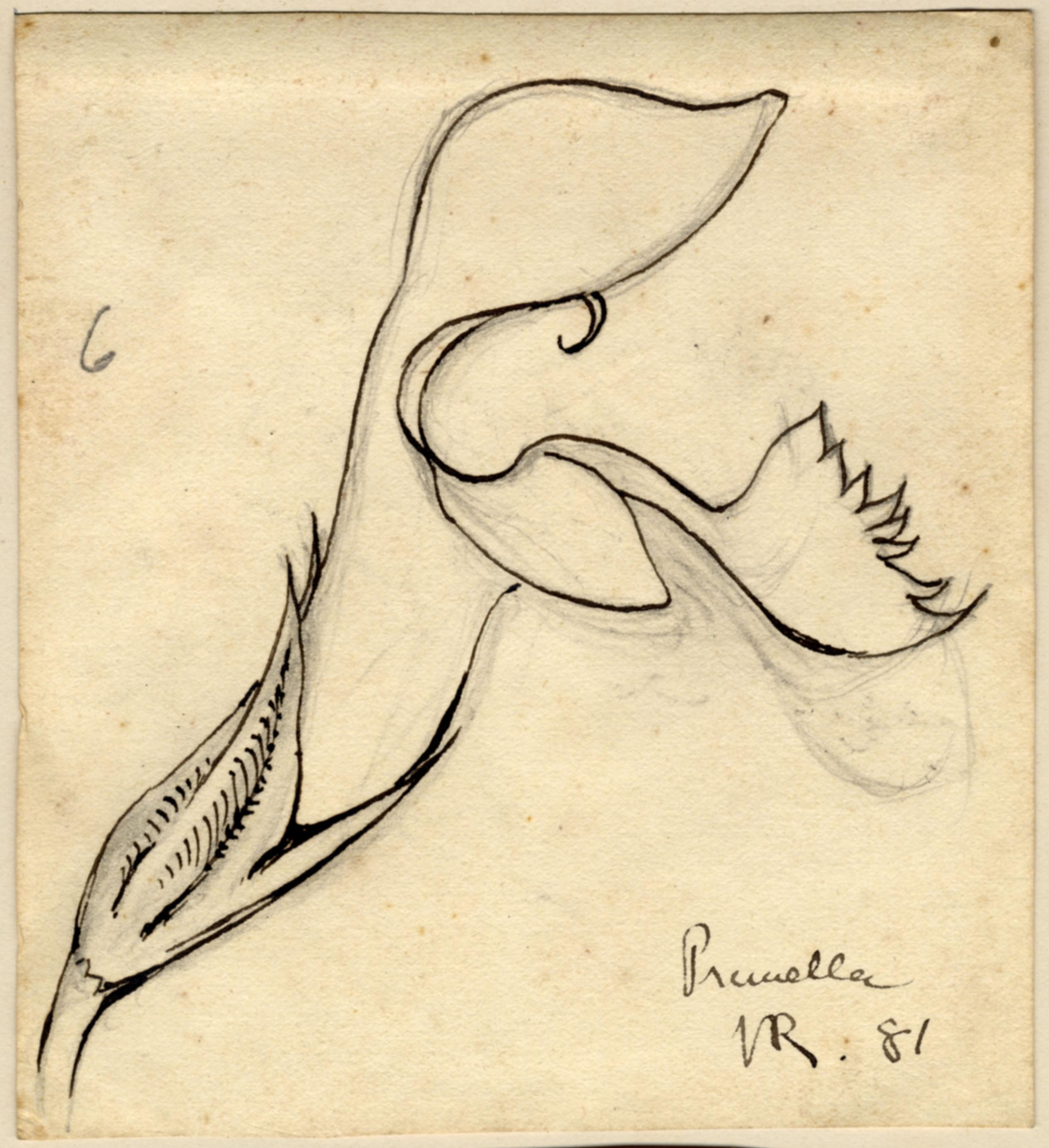 John Ruskin, Prunella, 1881, RF1181, © Ruskin Foundation