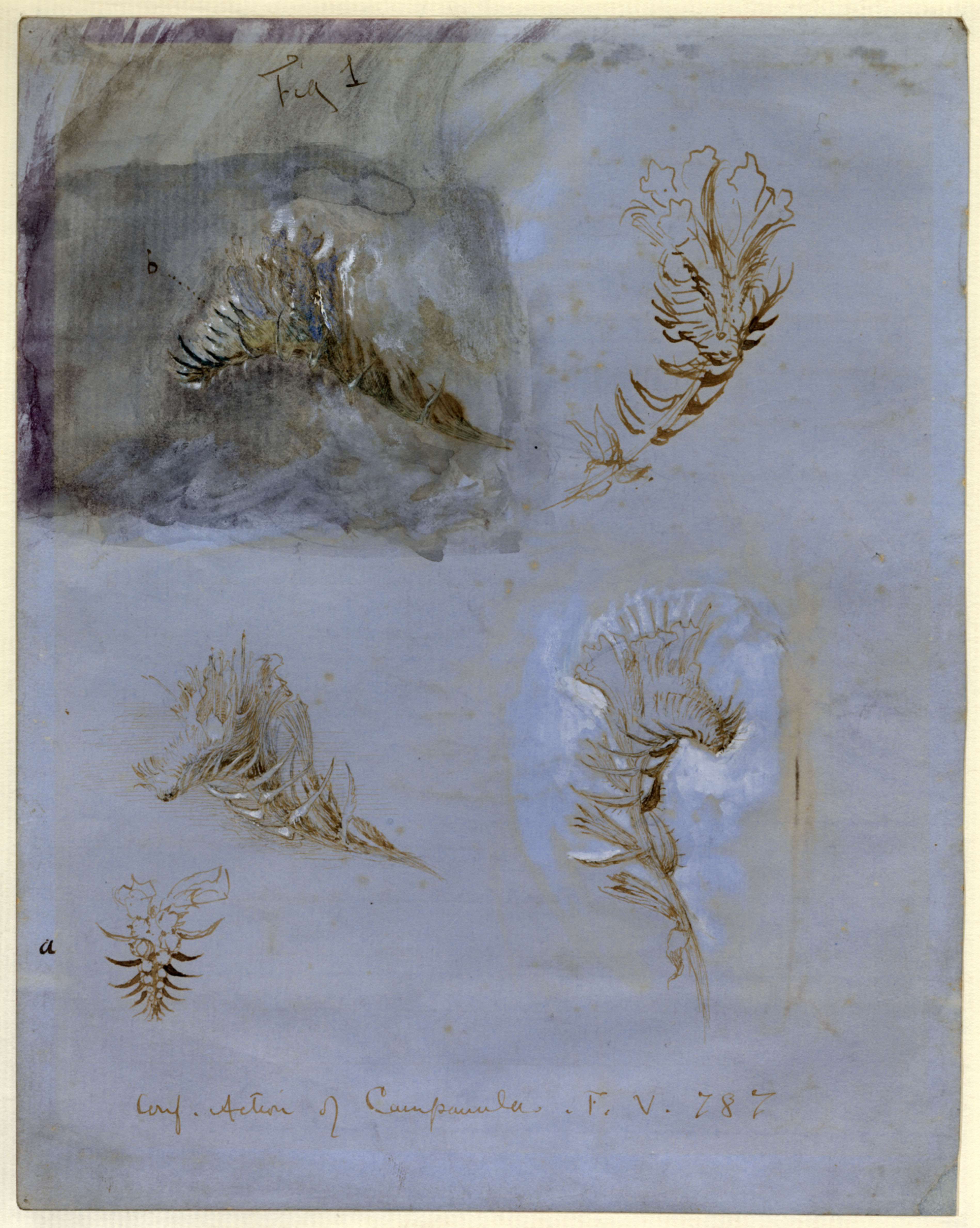 John Ruskin, Action of Campanula, RF1186 © Ruskin Foundation