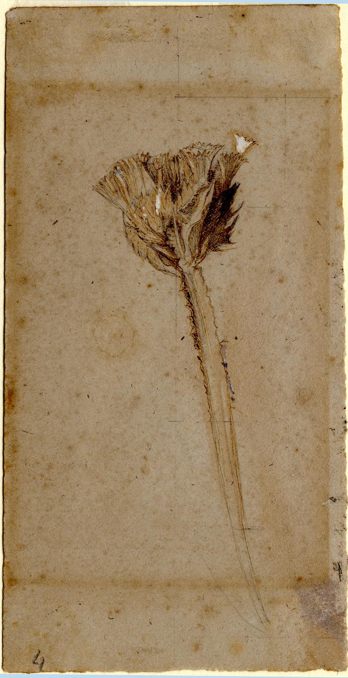 John Ruskin, Statice, RF1187 © Ruskin Foundation