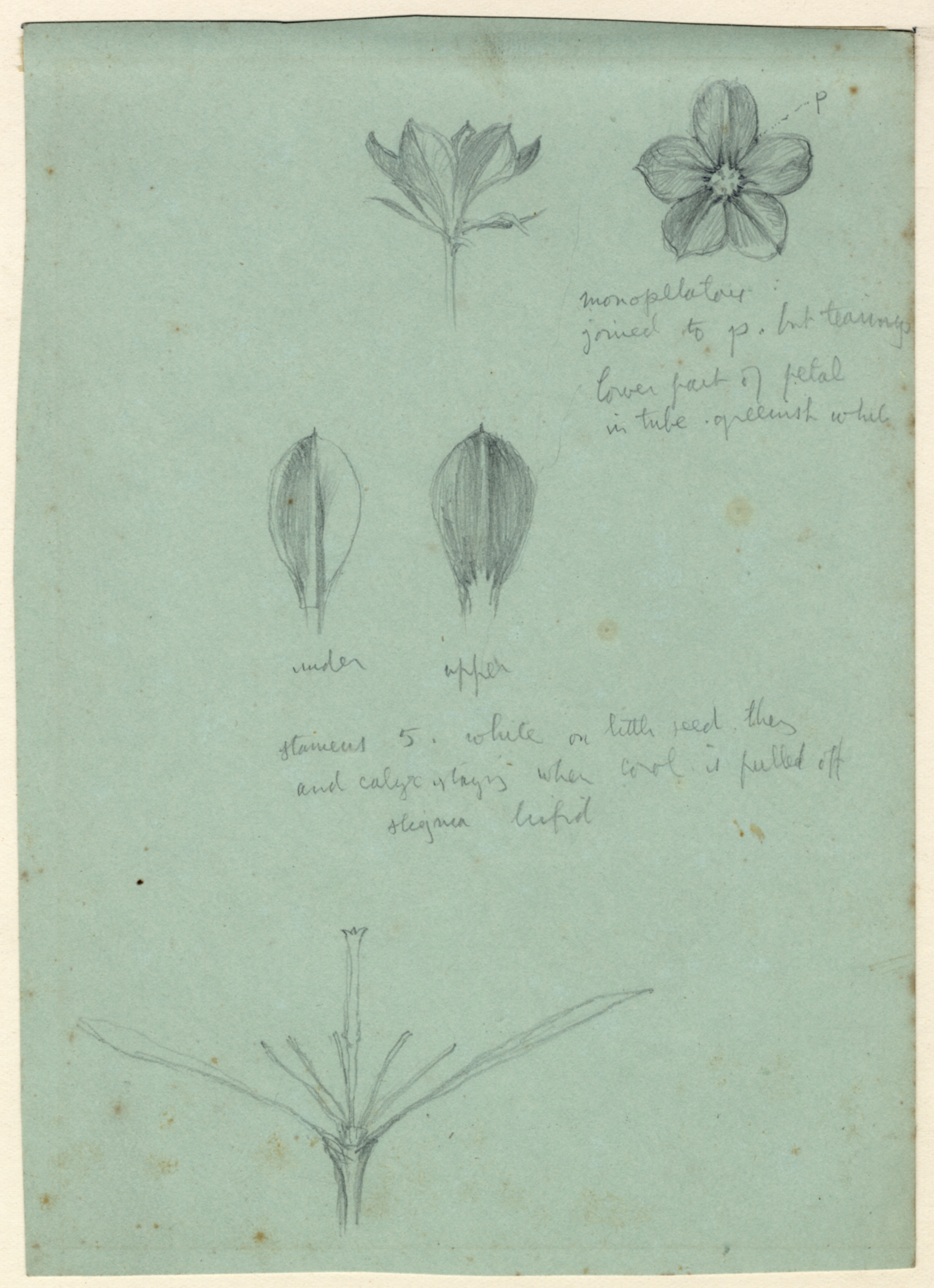 John Ruskin, Flower Studies - Buds and Flowers, RF1263,  © Ruskin Foundation