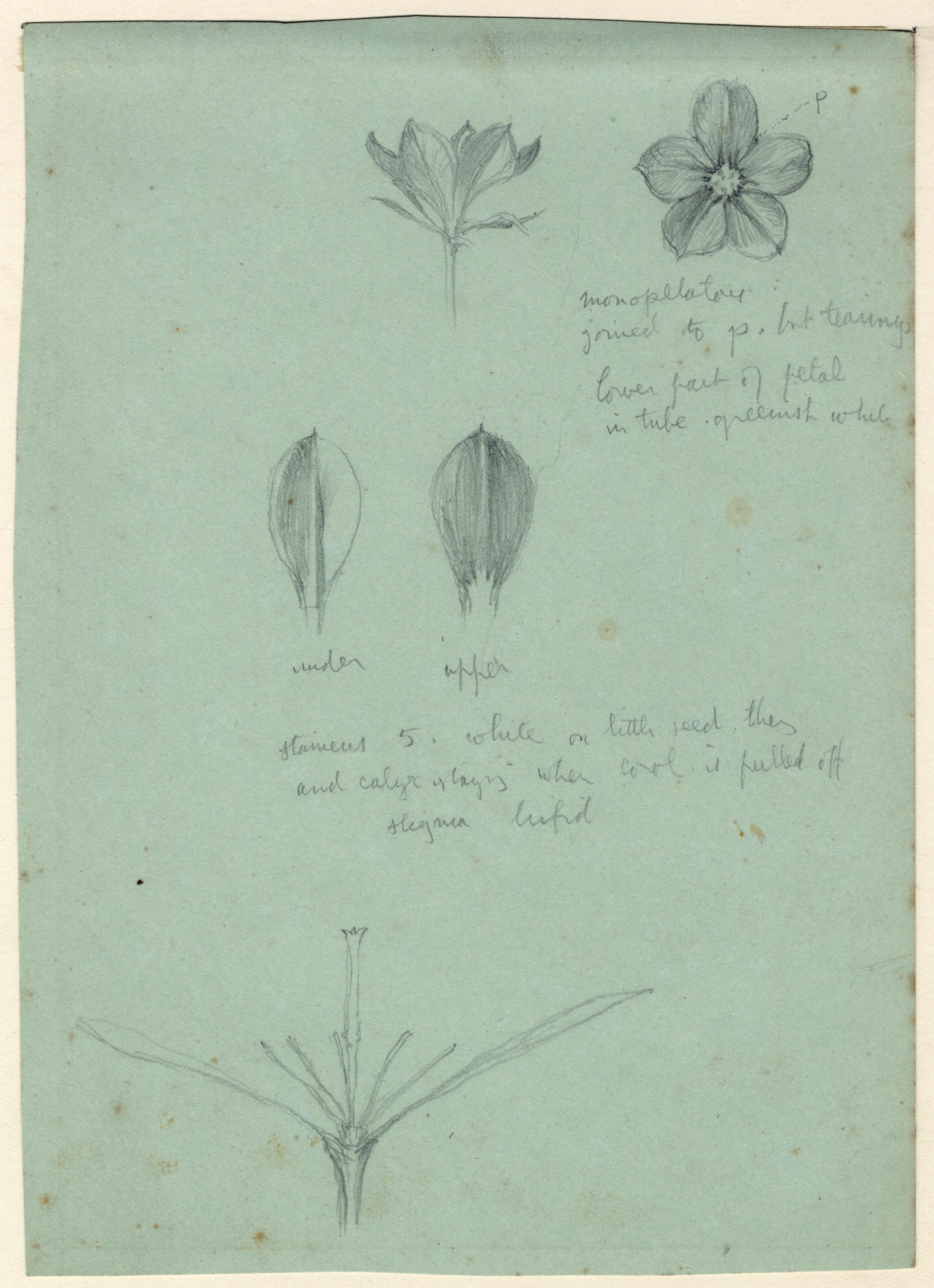 John Ruskin, Flower Studies - Buds and Flowers, RF1263,  © Ruskin Foundation