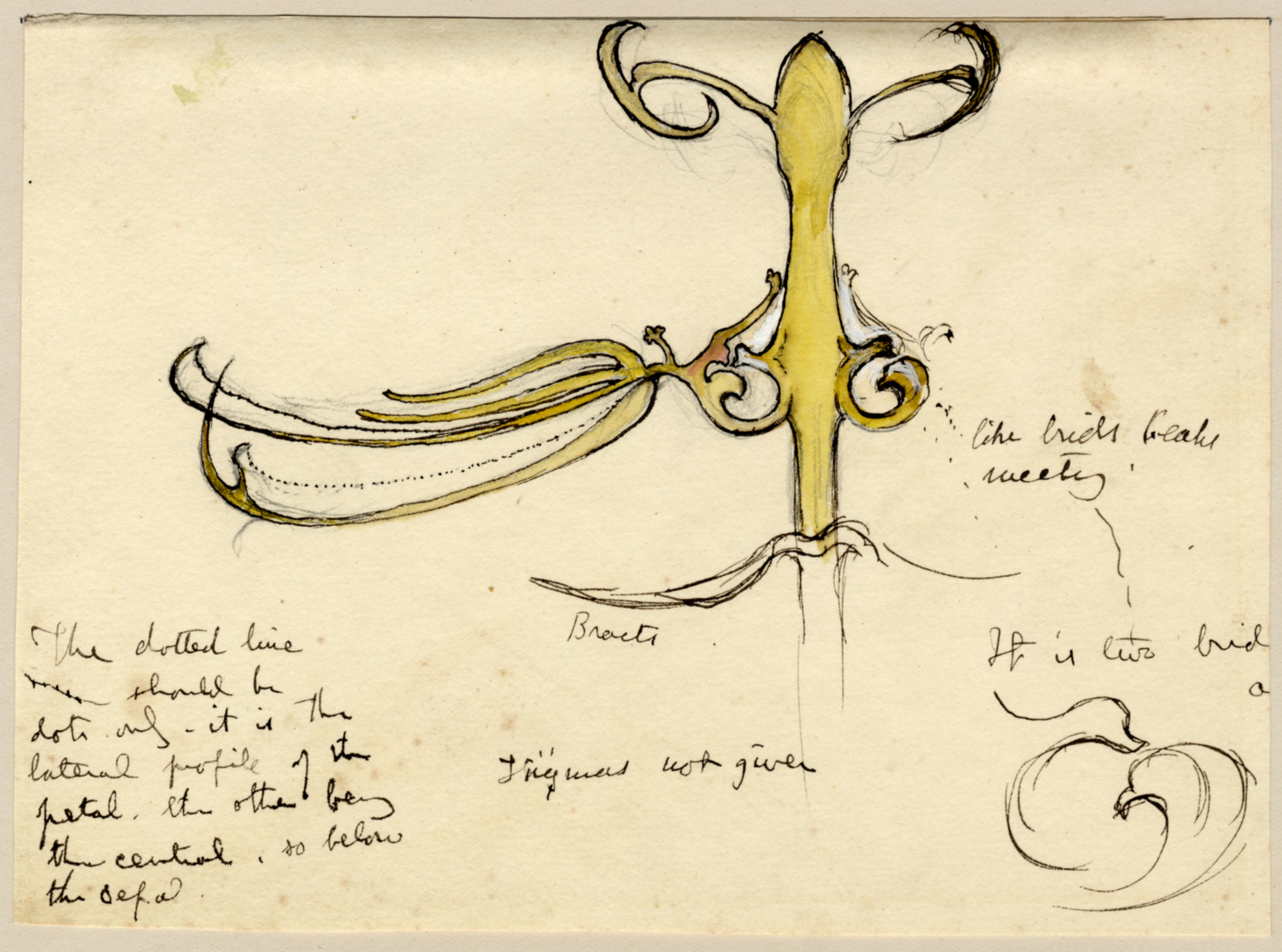 John Ruskin, Flower Study - Details of parts of flower, RF1266,  © Ruskin Foundation