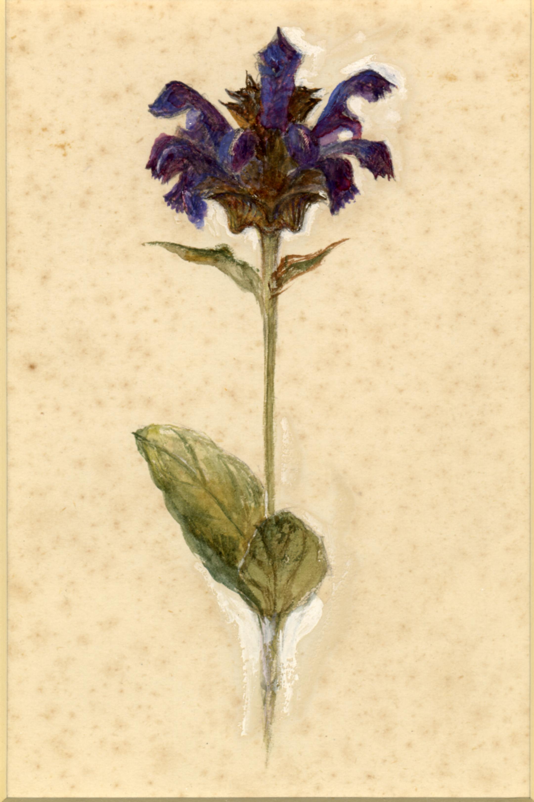 John Ruskin, Flower studies: Common Self-heal, RF1270,  © Ruskin Foundation