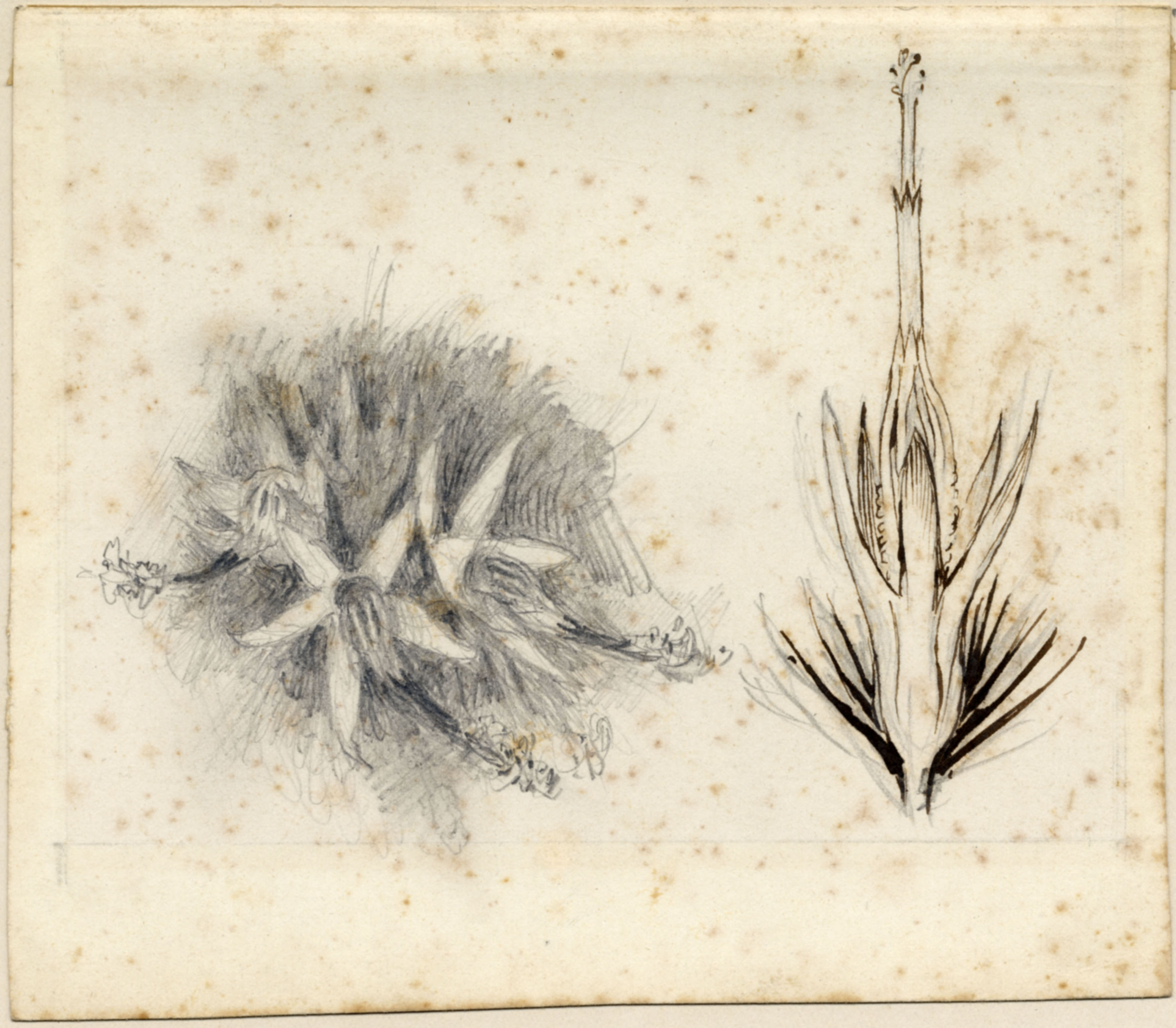 John Ruskin, Flower study - two details, RF1271, © Ruskin Foundation