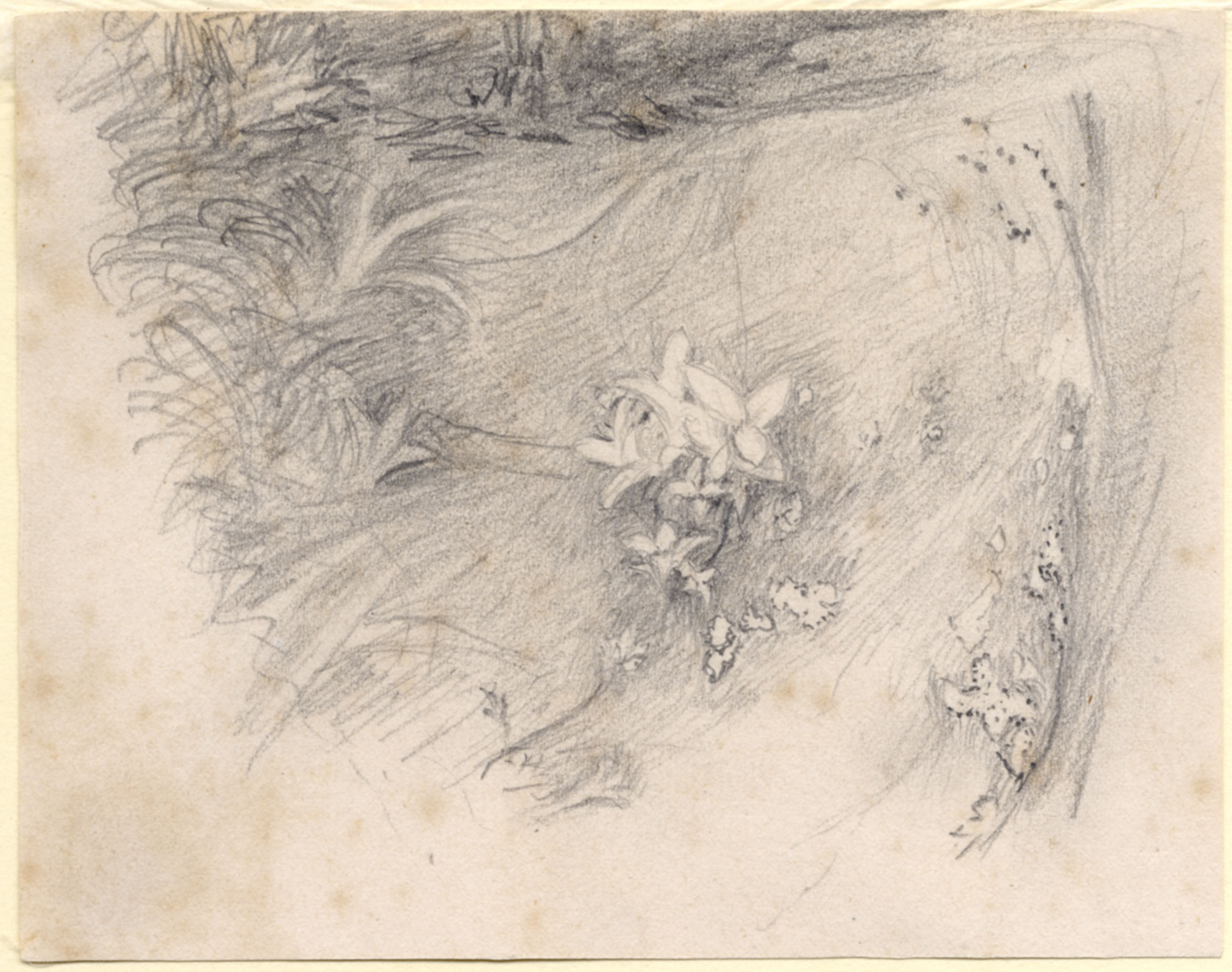 John Ruskin, Rhododendron Leaves, 1859, RF1272 © Ruskin Foundation