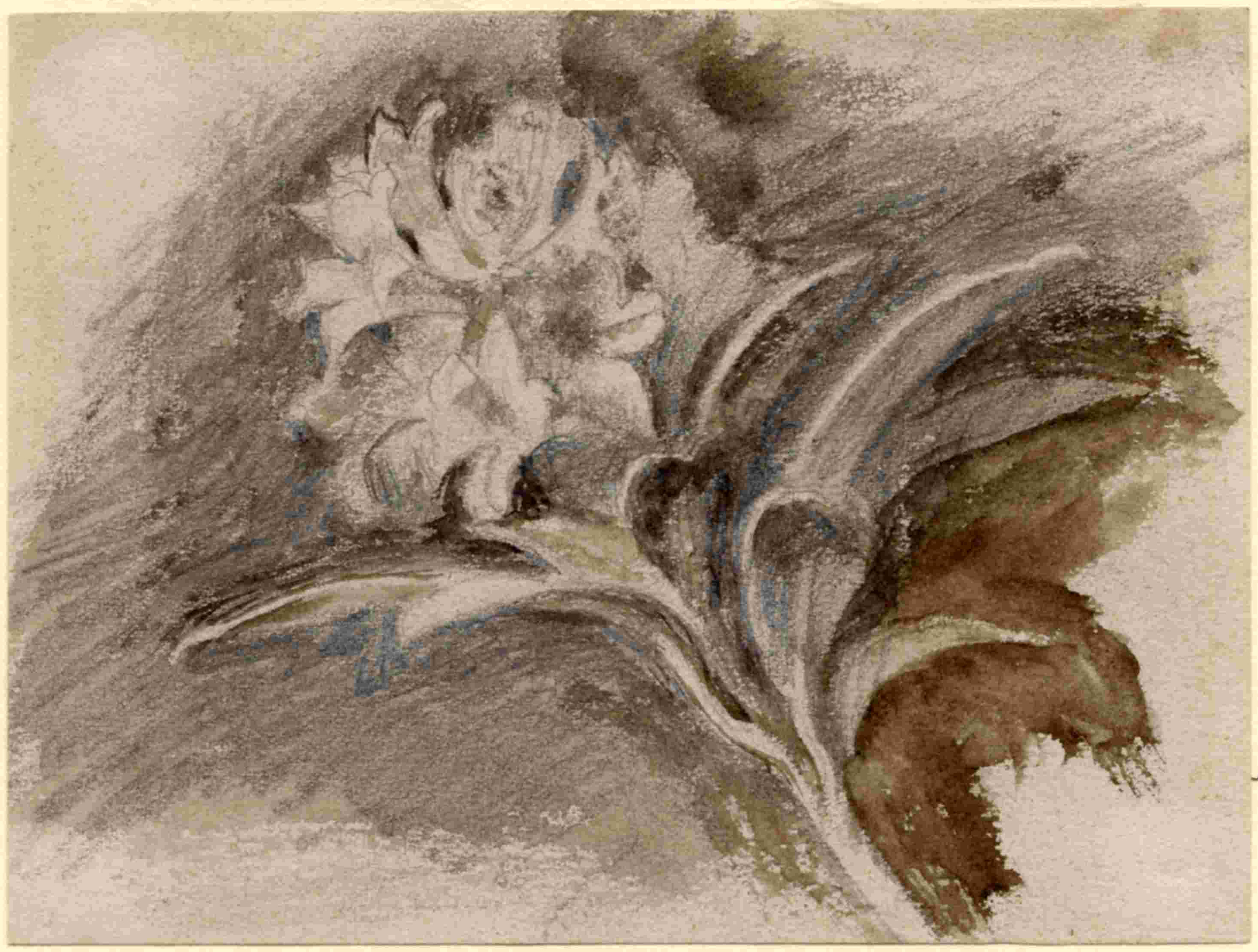 John Ruskin, Flower Studies, RF1274-2 © Ruskin Foundation