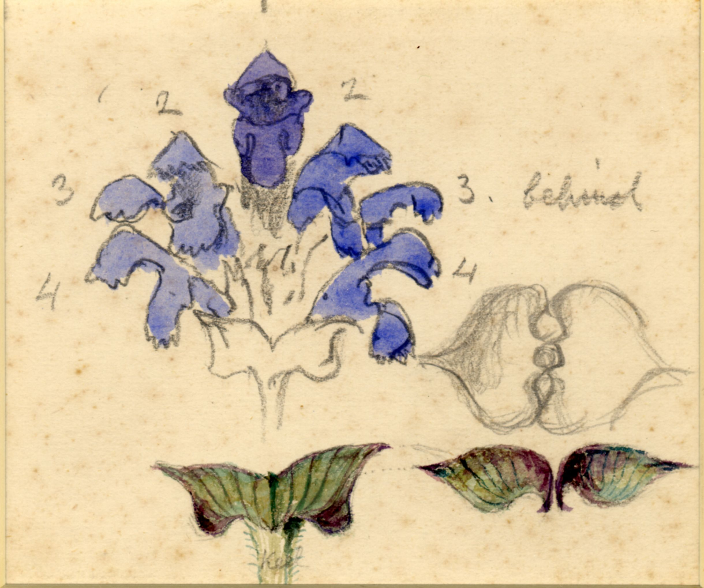 John Ruskin, Flower studies; Prunella vulgaris (Common Self-Heal), RF1278 © Ruskin Foundation
