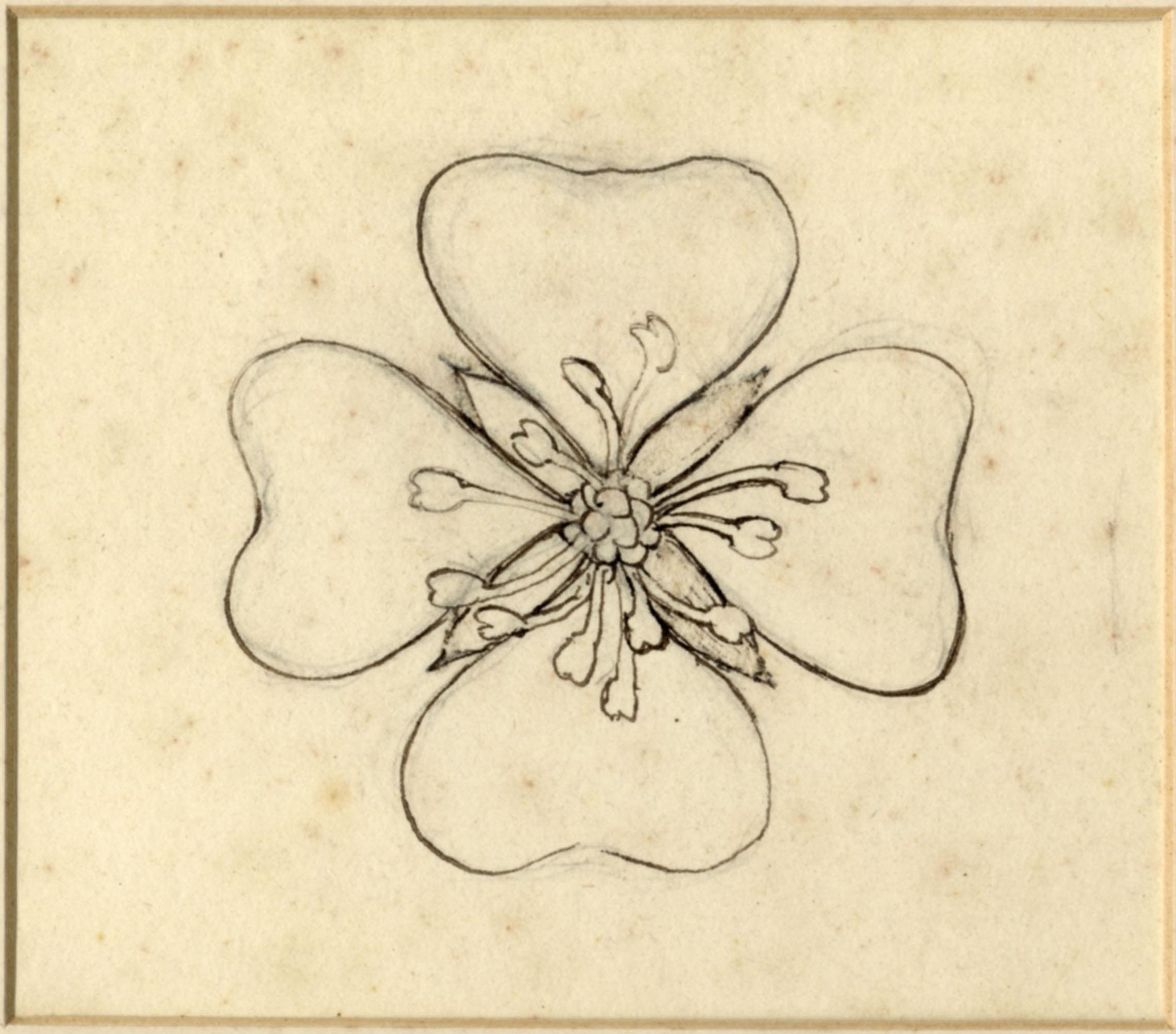 John Ruskin, Flower Study, RF1280 © Ruskin Foundation