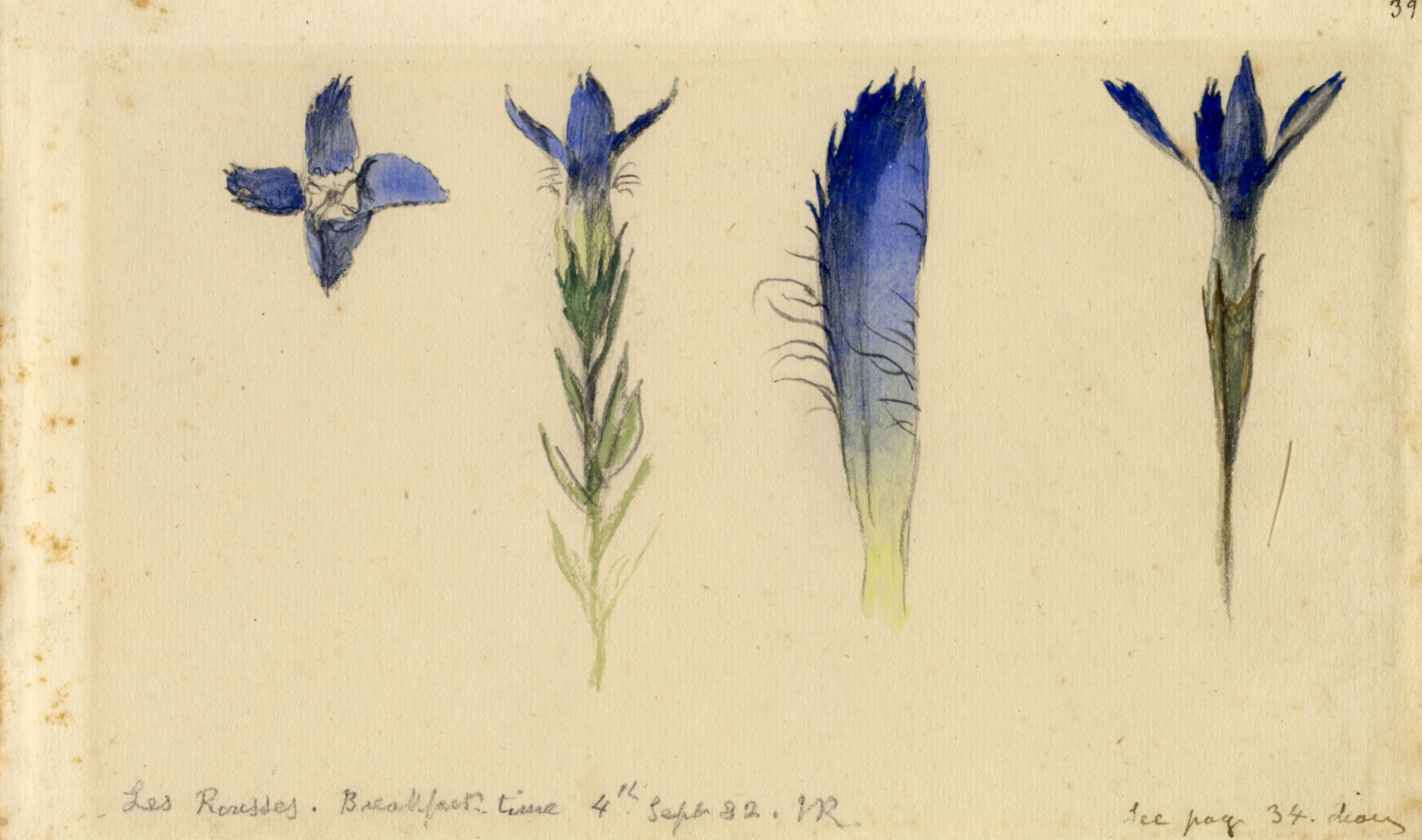 John Ruskin, Study of quatrefoil fringed gentian, Sept 4, 1882, RF1296 &copy; Ruskin Foundation