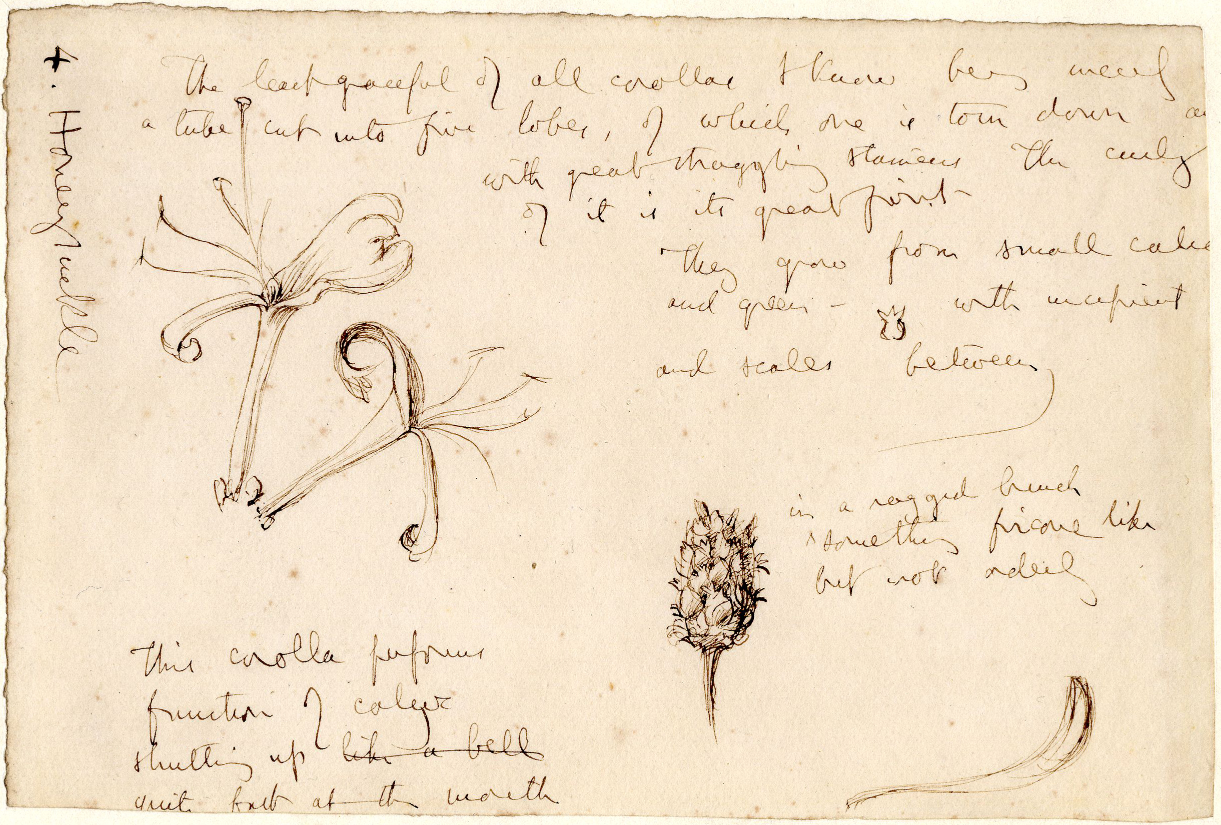 John Ruskin, Honeysuckle, RF1319 © Ruskin Foundation