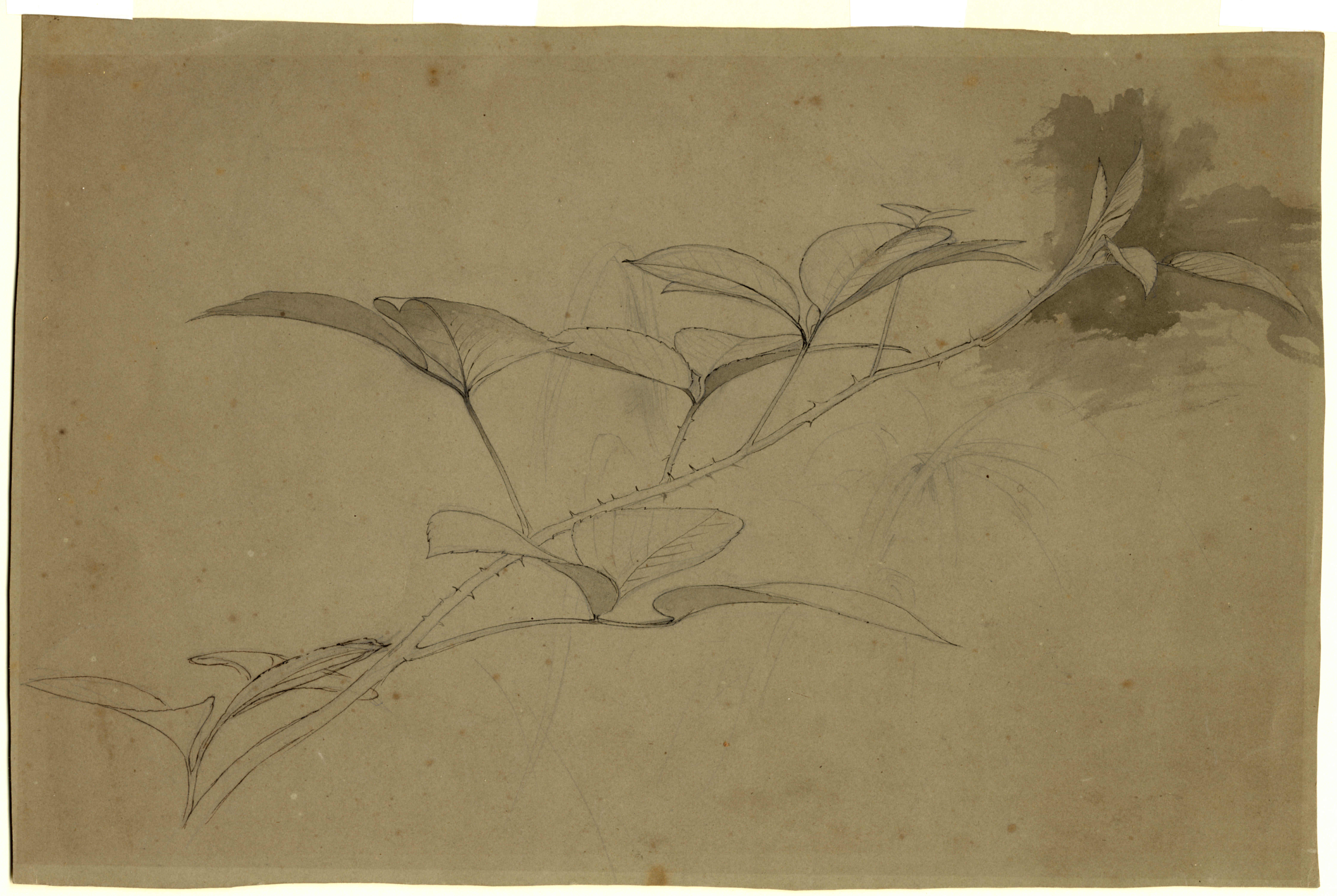 John Ruskin, Leaf Studies - Bramble, RF1344 © Ruskin Foundation