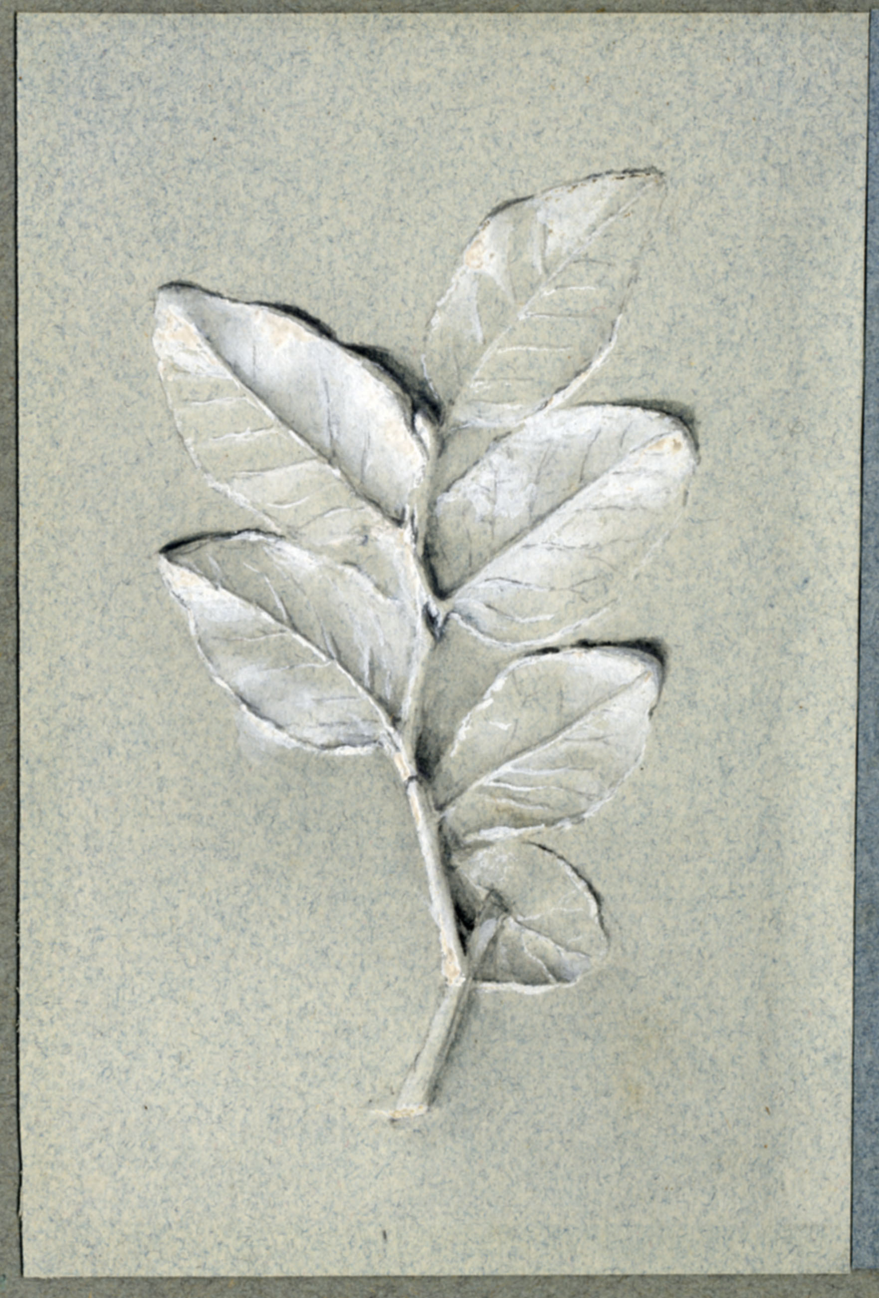 John Ruskin, Bay leaves, RF1347-1 © Ruskin Foundation