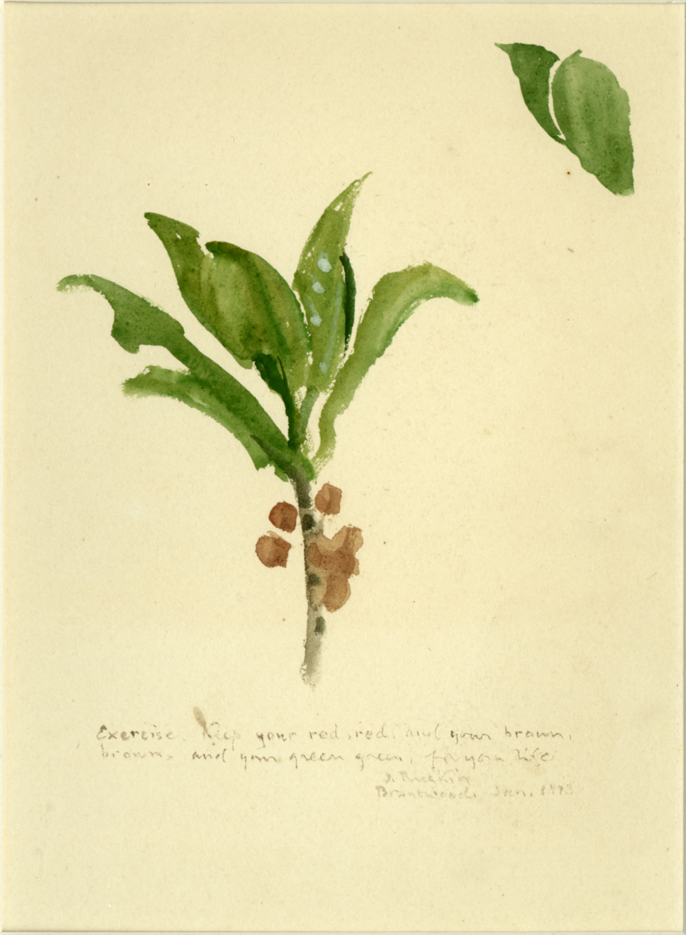 John Ruskin, Study of Leaves and Berries, 1873(Jan), RF1353 © Ruskin Foundation