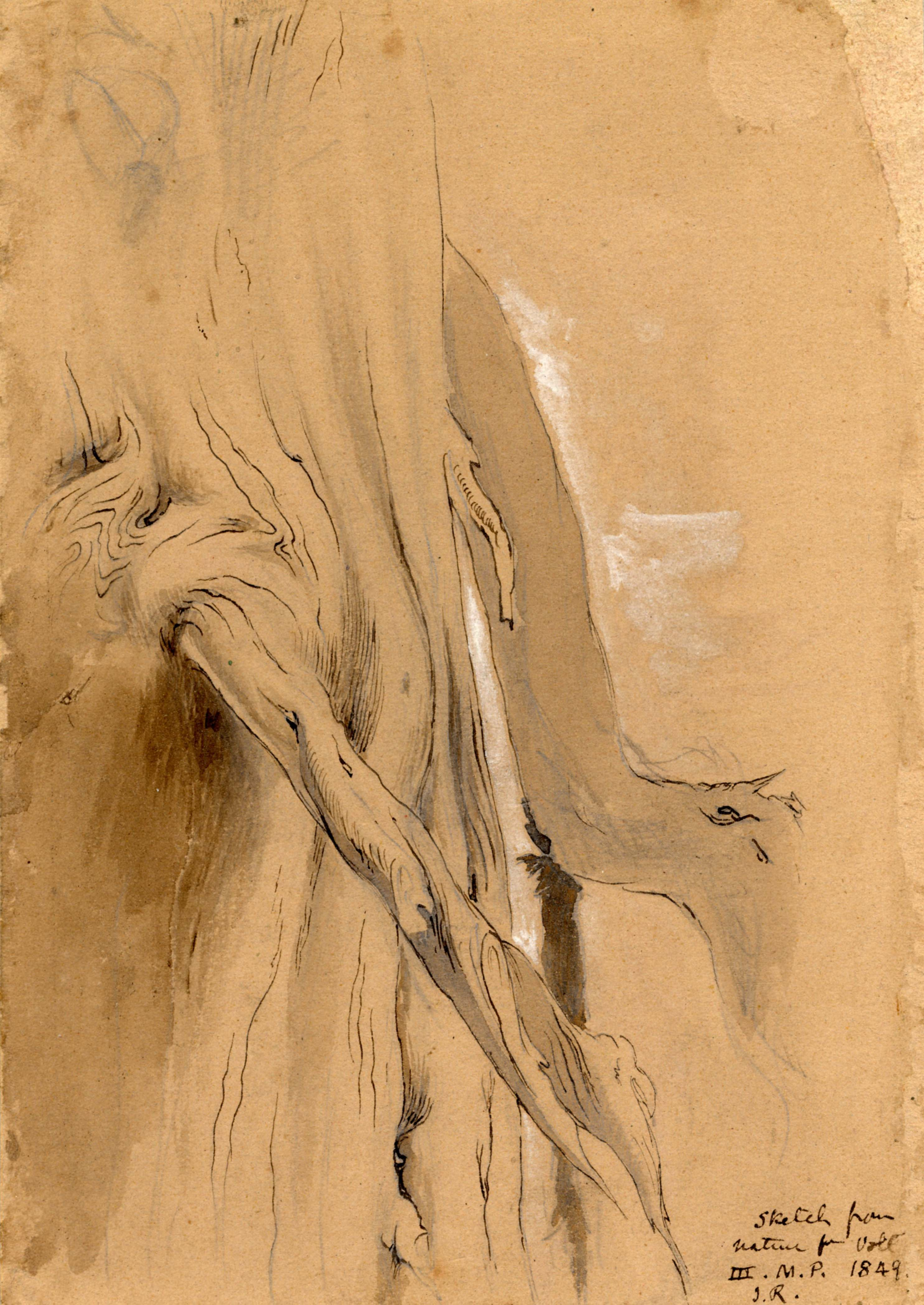 John Ruskin, Strength of old pine 1849, RF1438 © Ruskin Foundation