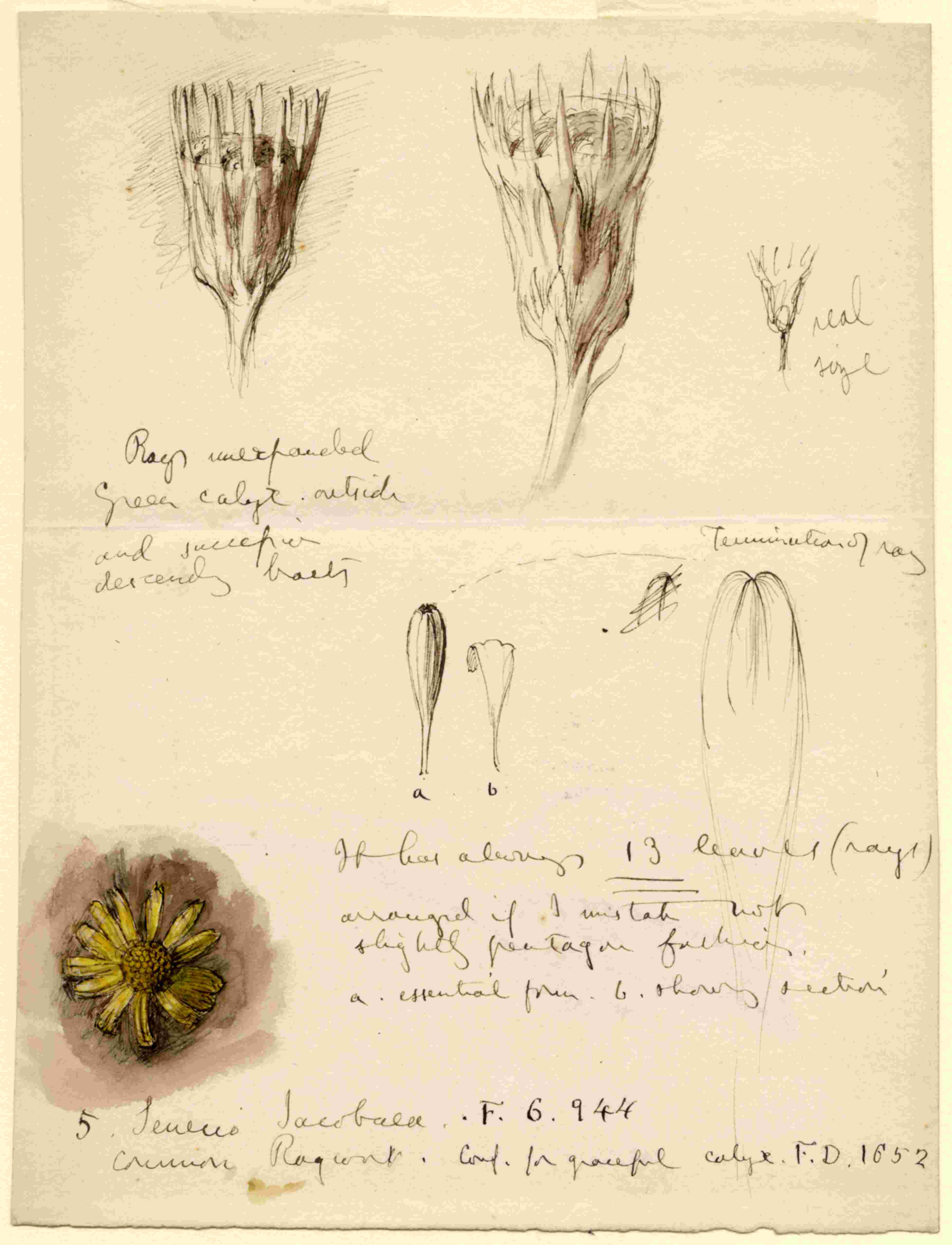John Ruskin, Common Ragwort (Senecio jacobaea), RF1451 © Ruskin Foundation