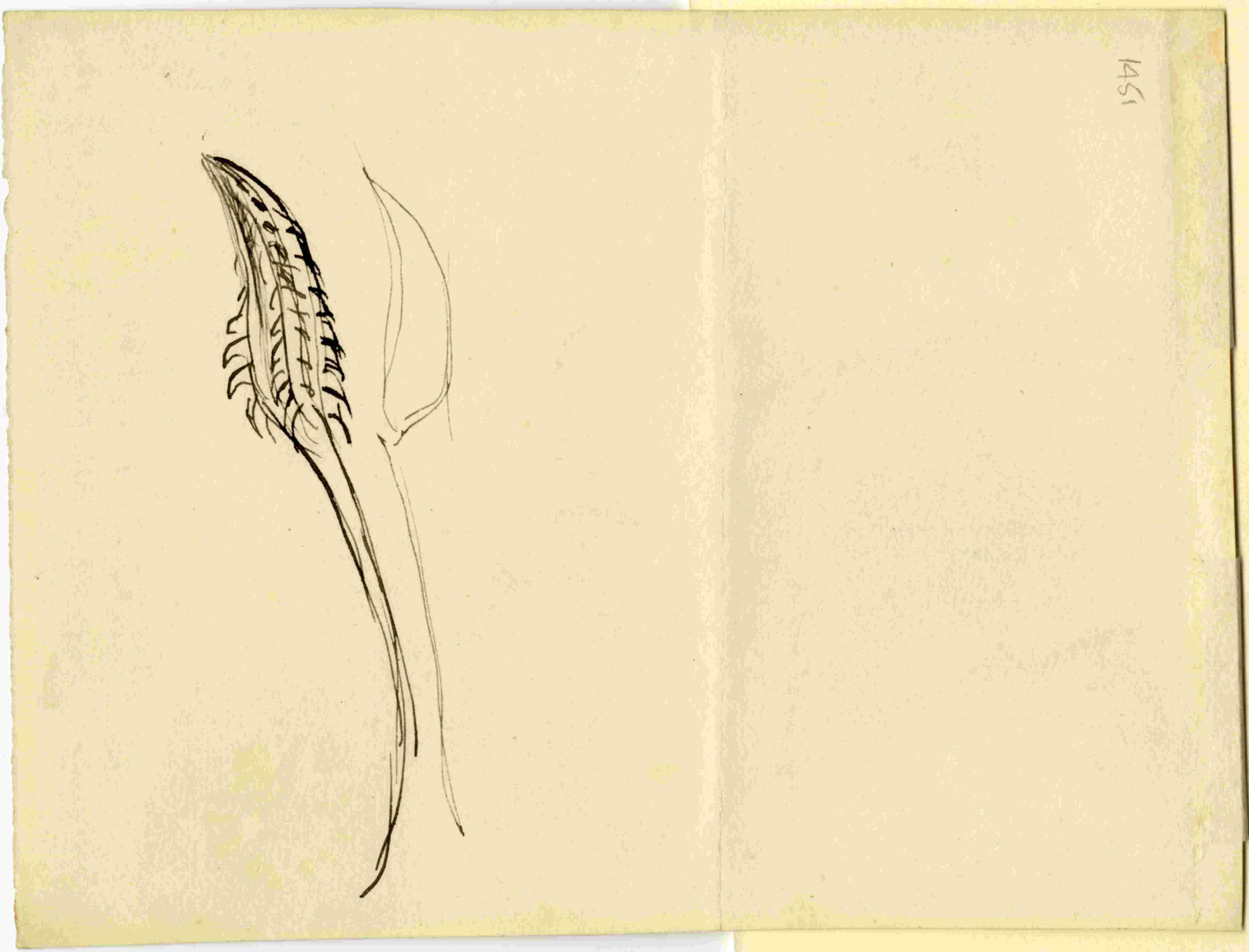 John Ruskin, Common Ragwort (Senecio jacobaea) verso, RF © Ruskin Foundation