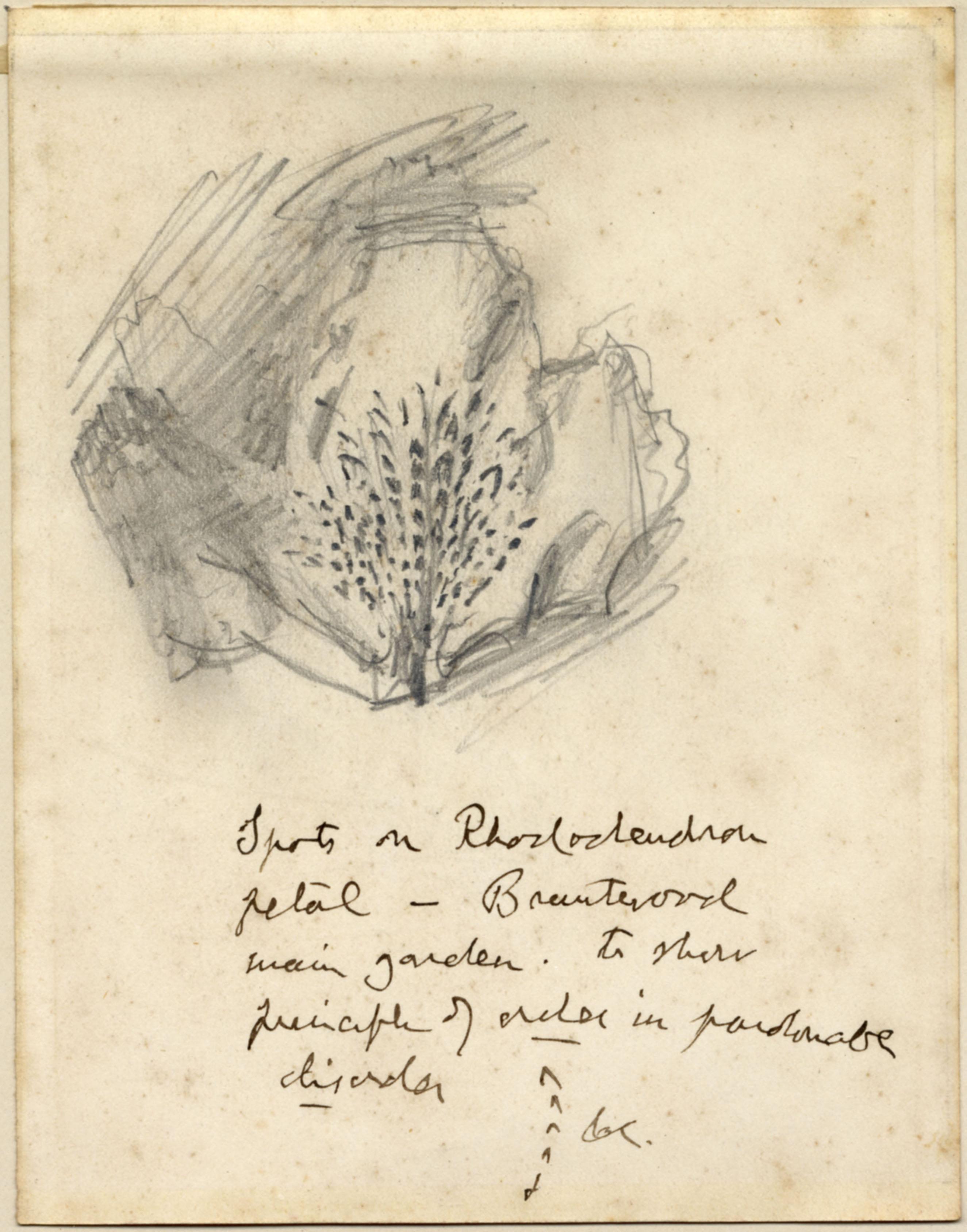 John Ruskin, Rhododendron Flower, RF1275 © Ruskin Foundation