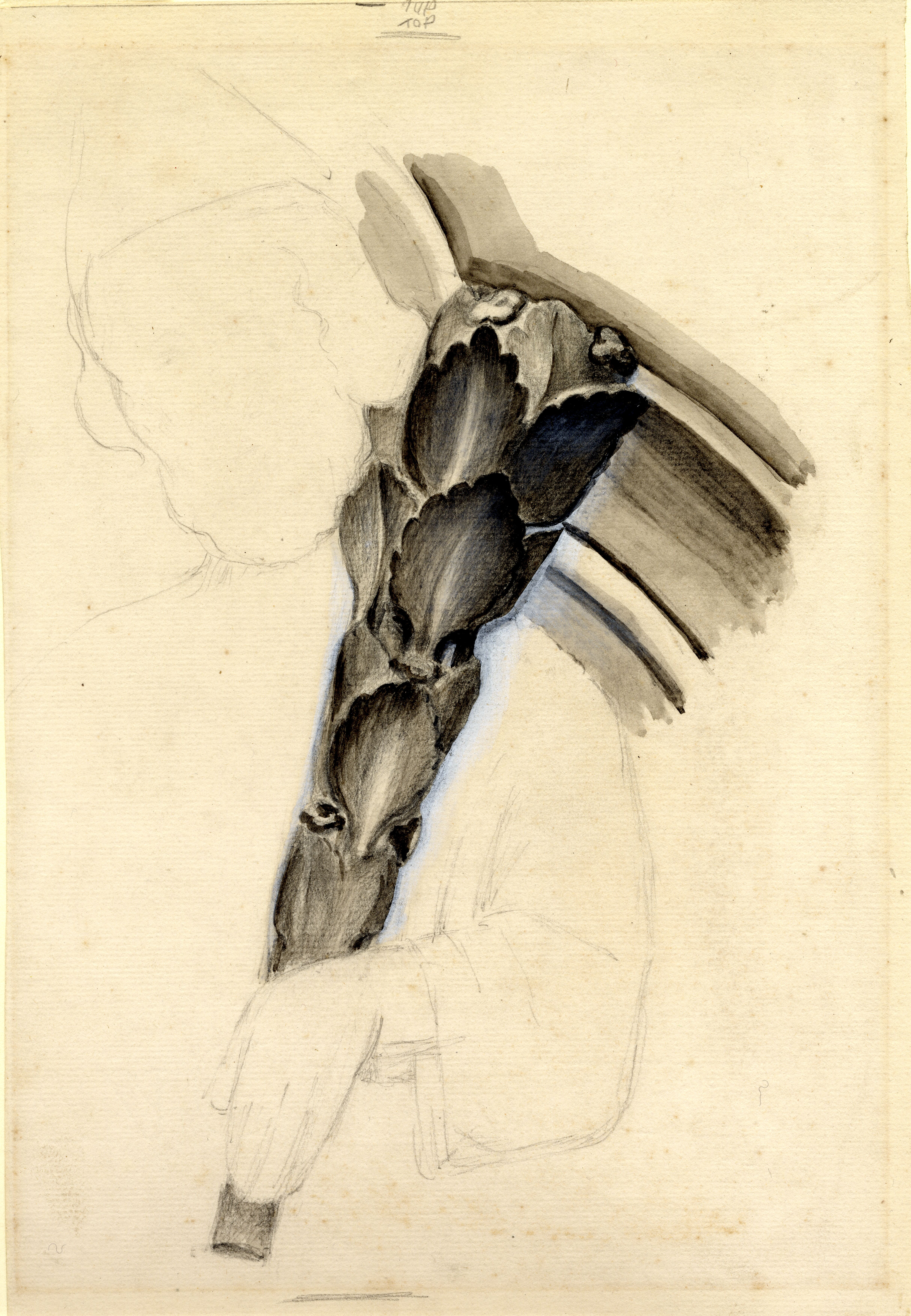 John Ruskin, Study of sculpture: male figure with leaf staff, RF1497 © Ruskin Foundation