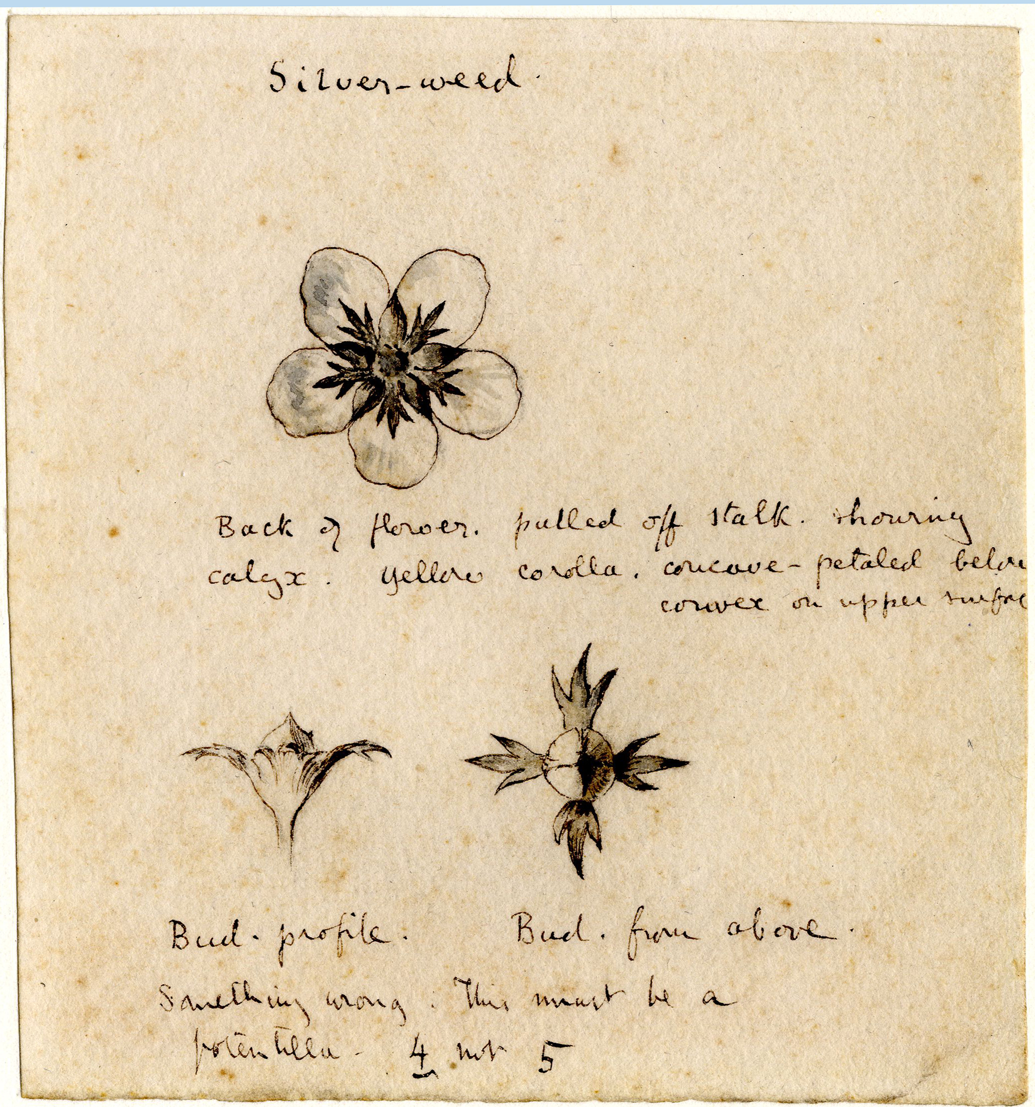 John Ruskin, Silver - Weed - Flower and Bud Studies, RF1516 © Ruskin Foundation