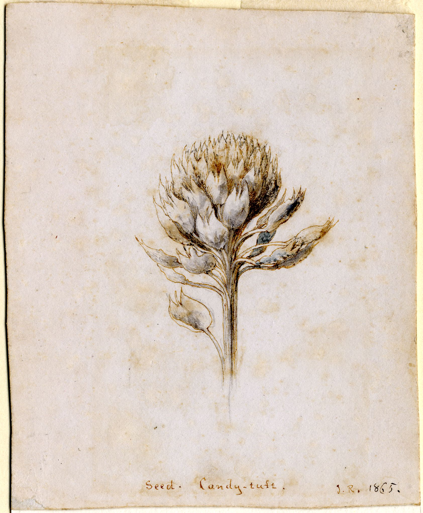 John Ruskin, Candytuft  1865, RF1525 © Ruskin Foundation