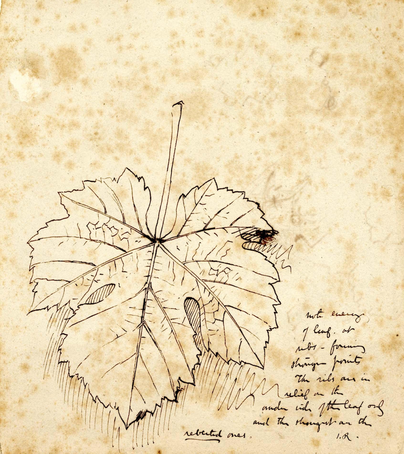 John Ruskin, Sycamore Leaf, RF1540 © Ruskin Foundation