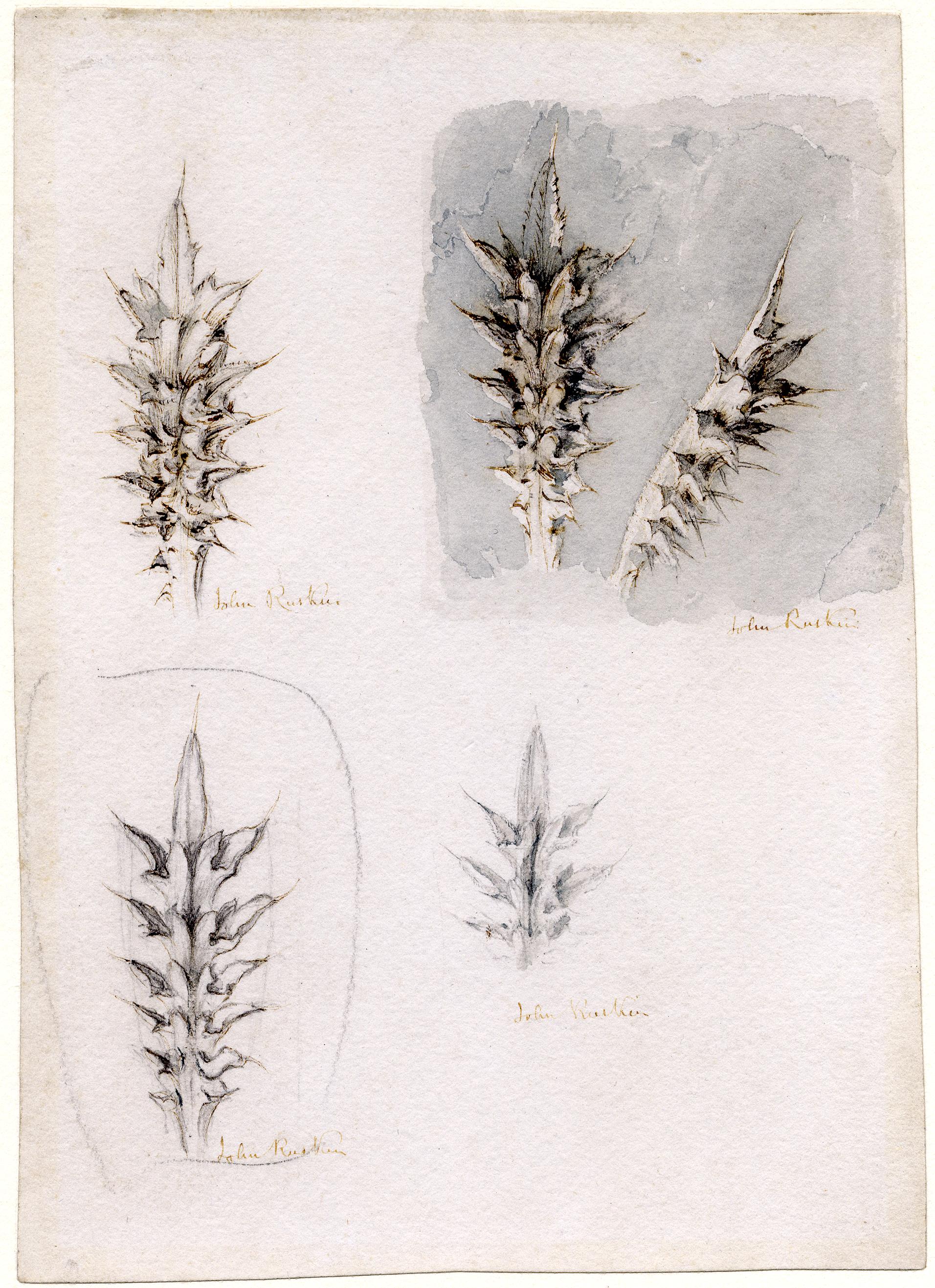John Ruskin, Thistles, 1879, RF1545 © Ruskin Foundation