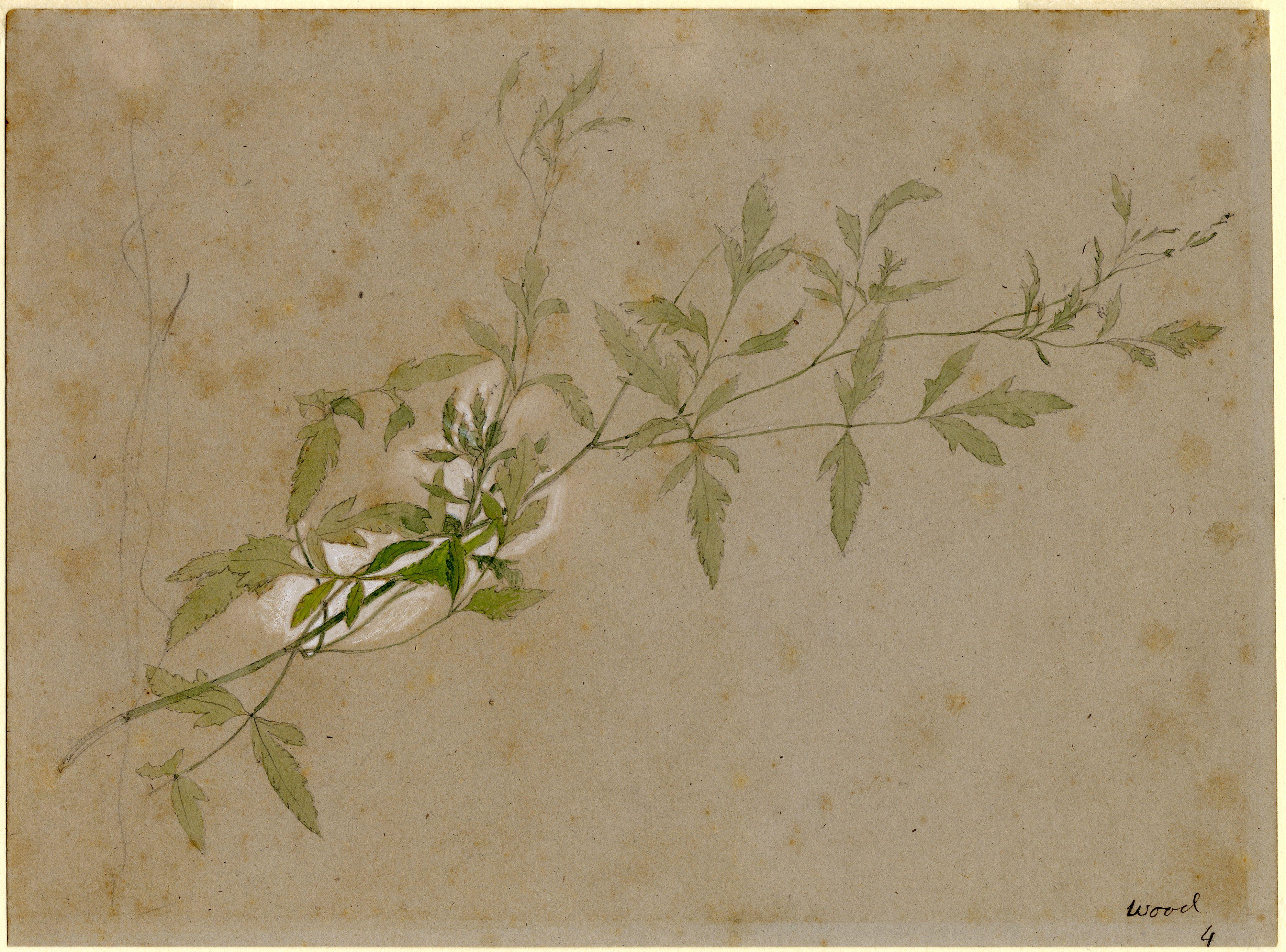 John Ruskin, wild Clematis (?), RF1683 © Ruskin Foundation