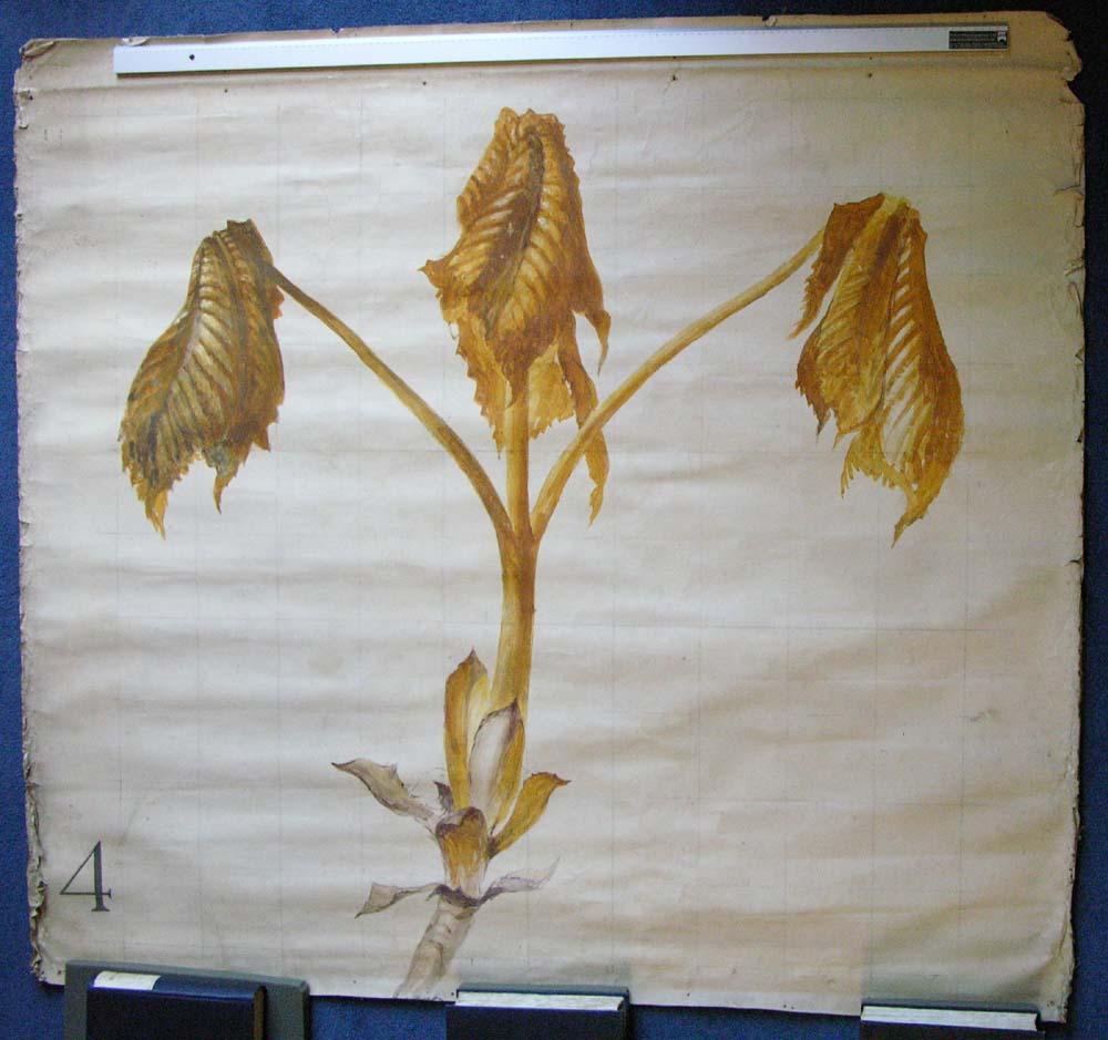 John Ruskin, Lecture diagram - Horse Chestnut, RF3089 © Ruskin Foundation