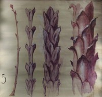 John Ruskin, Four studies of buds, RF465 © Ruskin Foundation