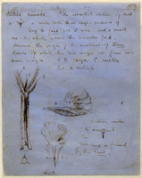 John Ruskin, Verso of Action of Campanula, RF1186v © Ruskin Foundation