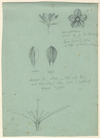 John Ruskin, Flower Studies - Buds and Flowers. 