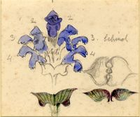 John Ruskin, Flower studies; Prunella vulgaris (Common Self-Heal) RF1278 © Ruskin Foundation