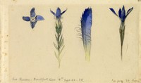 John Ruskin, Study of quatrefoil fringed gentian, Sept 4, 1882 RF1296 © Ruskin Foundation