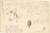 John Ruskin, Honeysuckle - Botanical Study. 