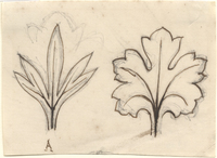 John Ruskin, Leaf Studies RF1349 © Ruskin Foundation