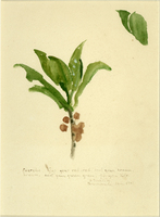 John Ruskin, Study of Leaves and Berries. 