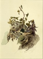 John Ruskin, Study of ivy. 1873(Jan), RF1354 © Ruskin Foundation
