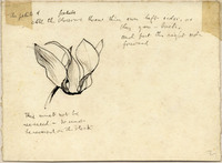 John Ruskin, Drawing of Blossom on verso of Saxifrage Leaf RF1487 © Ruskin Foundation