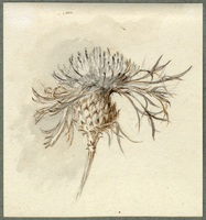 John Ruskin, Study of a Thistle RF1544 © Ruskin Foundation